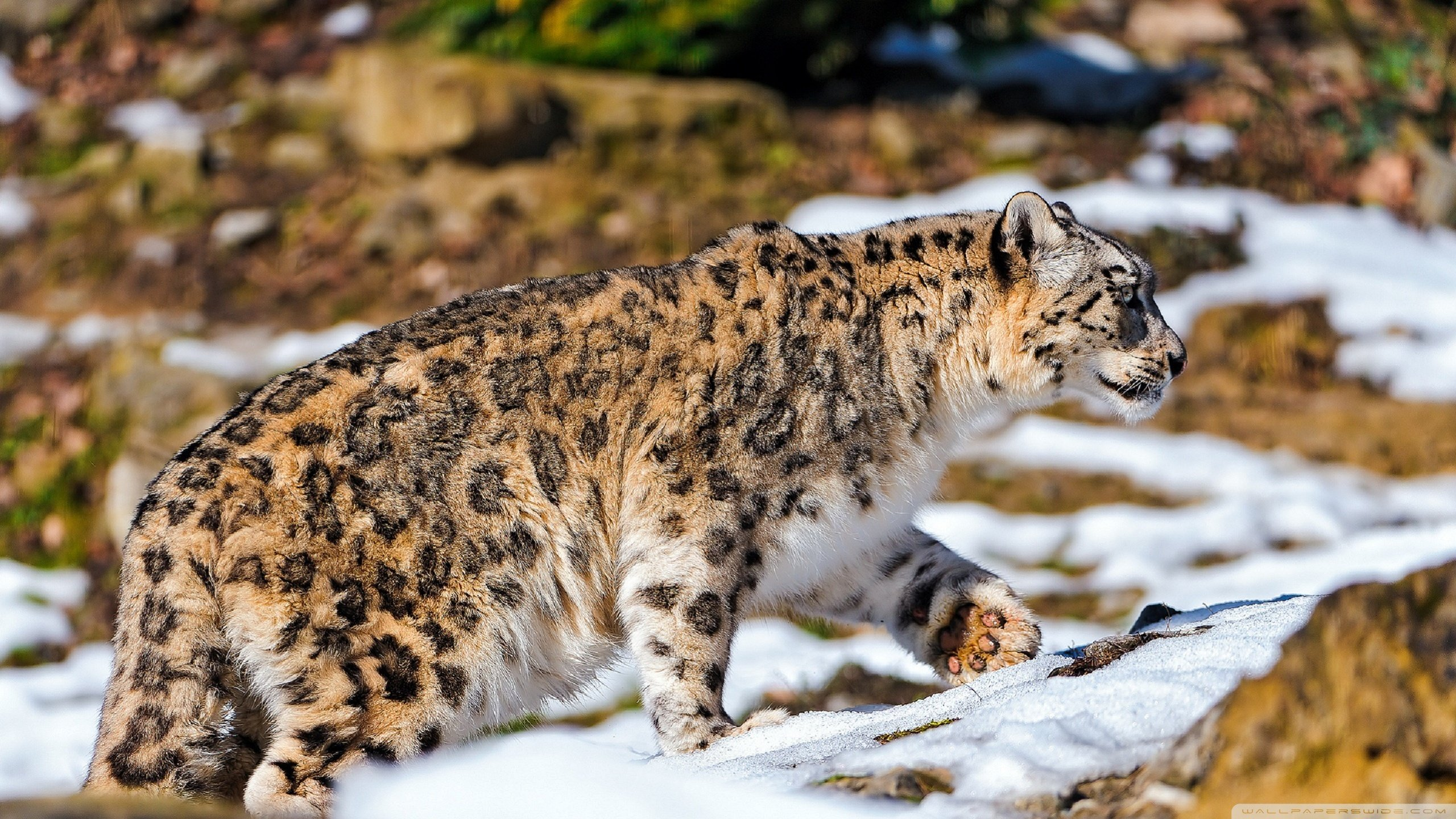 Best Snow Leopard background ID:34316 for High Resolution hd 2560x1440 desktop