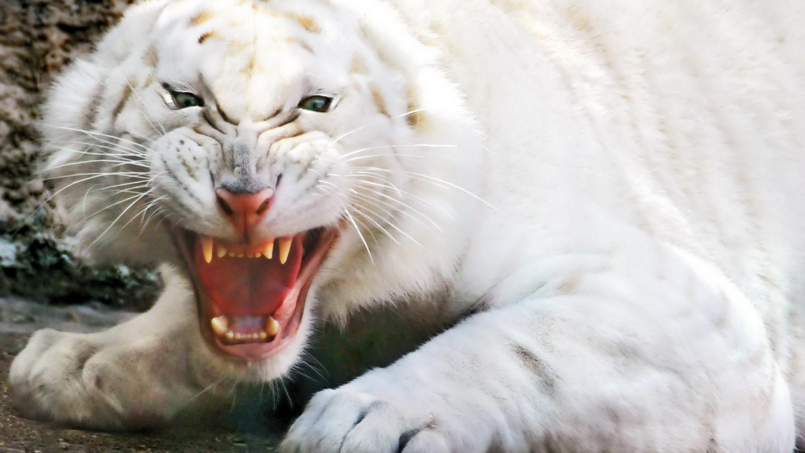 Download hd 2560x1440 White Tiger computer wallpaper ID:174996 for free
