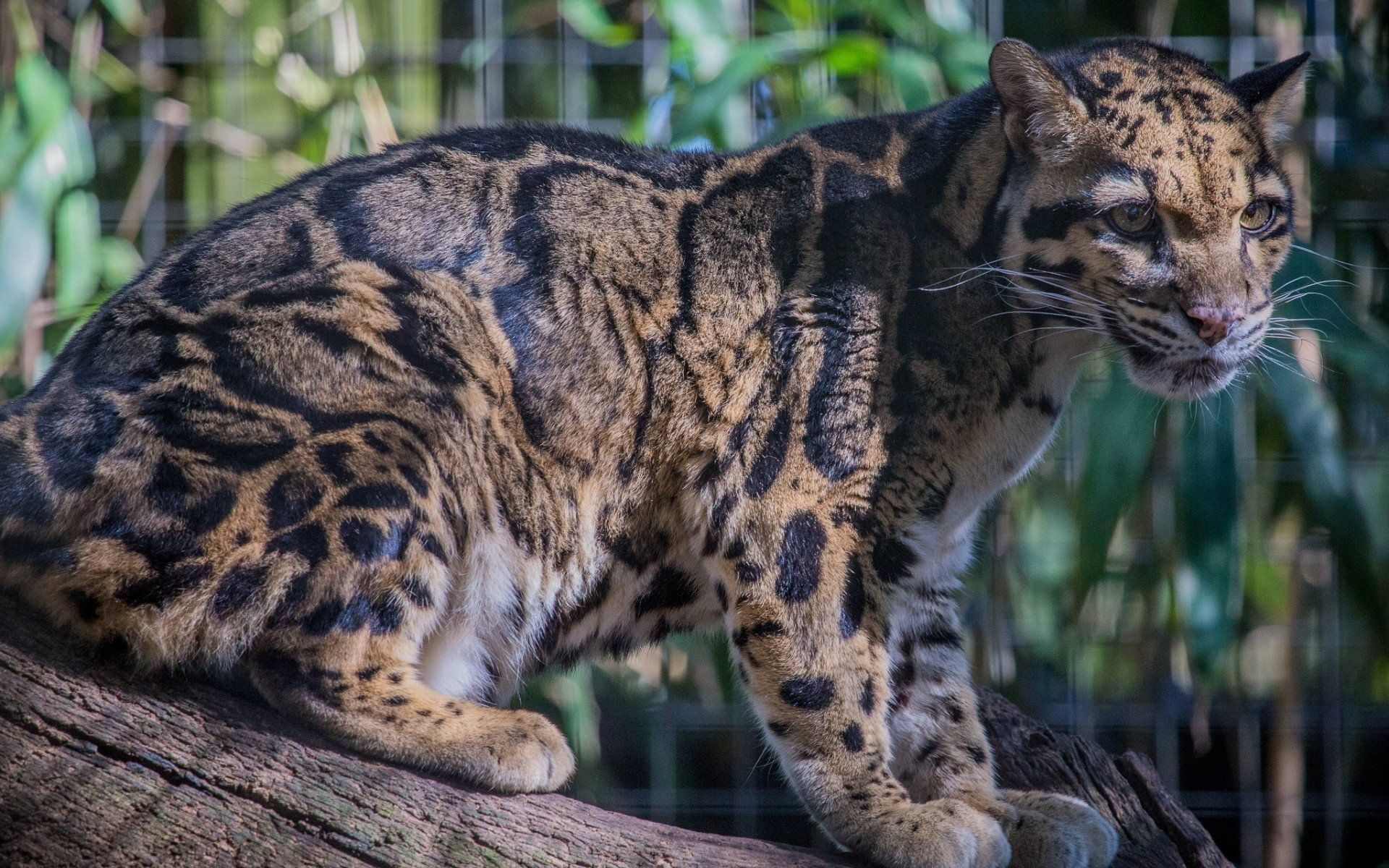 Best Clouded Leopard background ID:260349 for High Resolution hd 1920x1200 computer