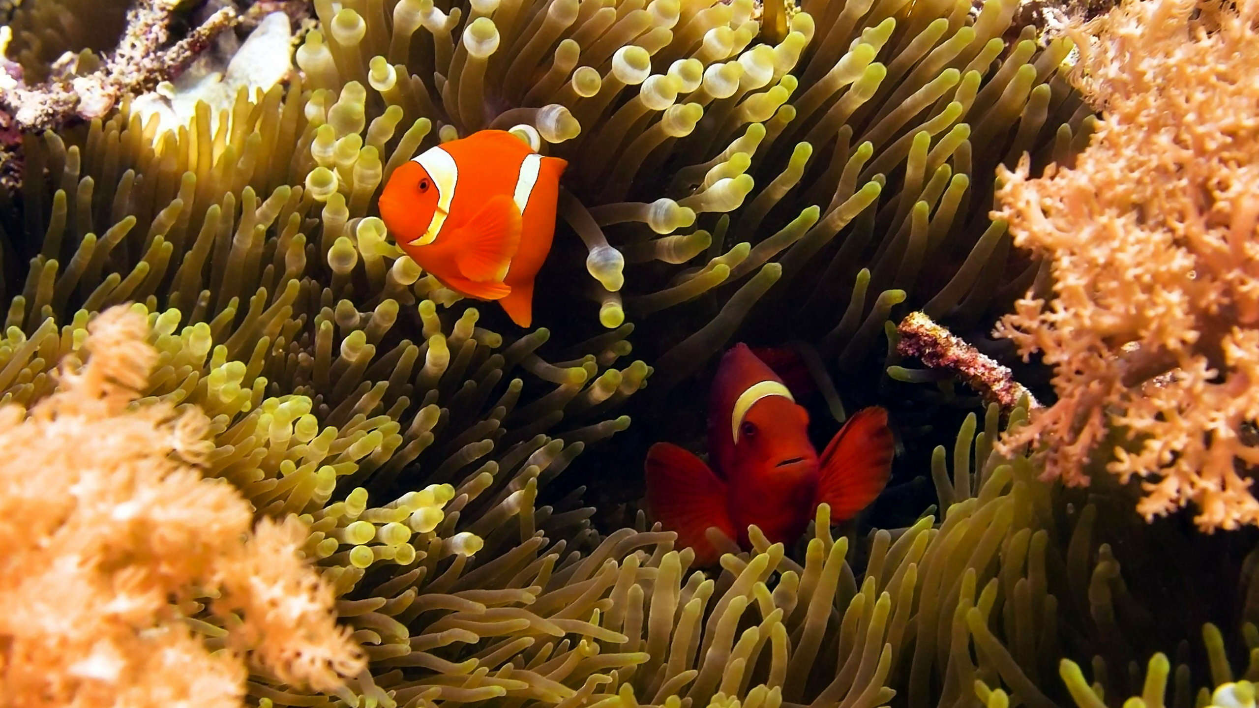 Best Clownfish wallpaper ID:53264 for High Resolution hd 2560x1440 desktop