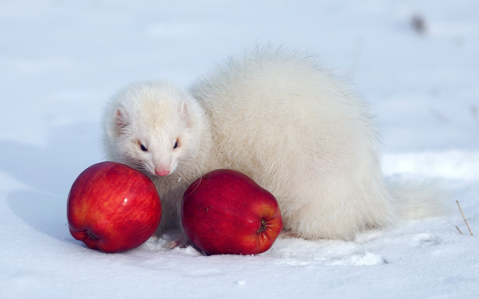 Download hd 1920x1200 Ferret PC wallpaper ID:165811 for free