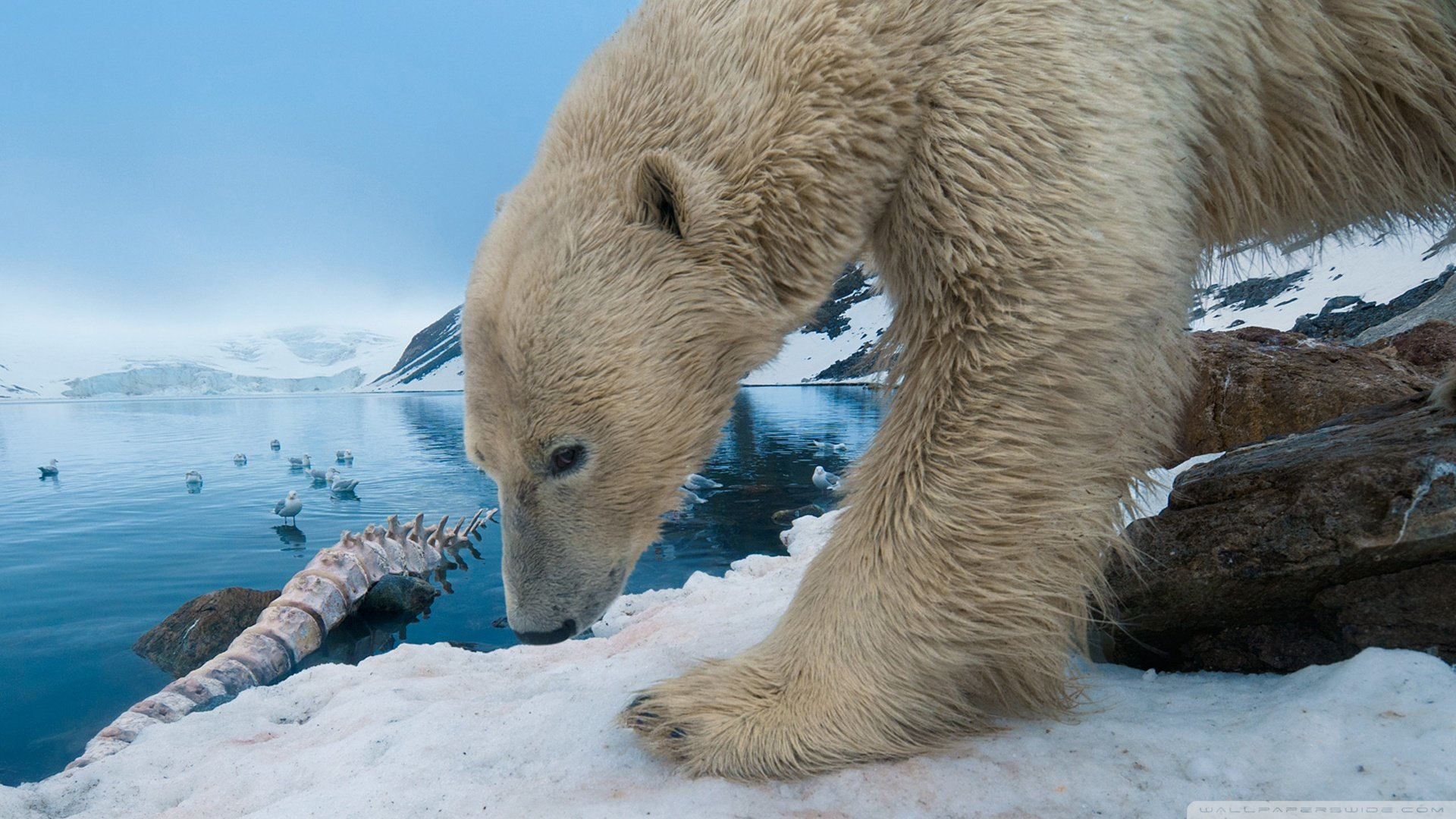 Free Polar Bear high quality background ID:359823 for full hd 1920x1080 PC
