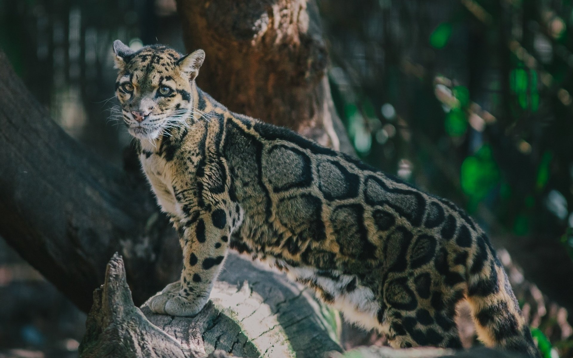 Awesome Clouded Leopard free background ID:260348 for hd 1920x1200 PC
