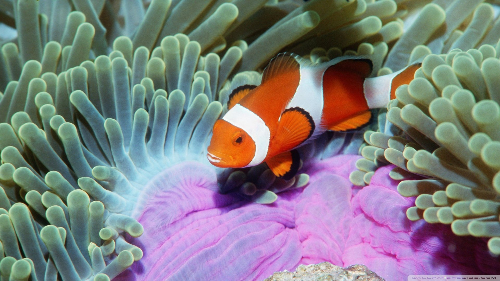 Free download Clownfish background ID:53263 full hd 1920x1080 for desktop