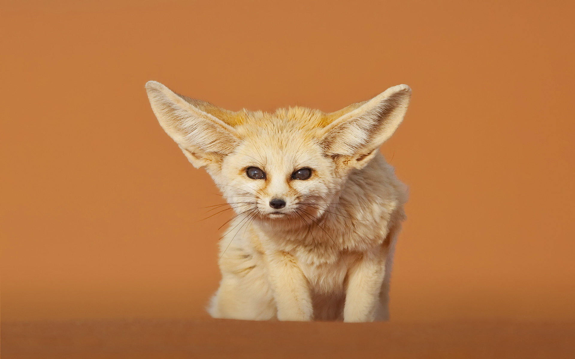 Download hd 1920x1200 Fennec Fox computer background ID:137675 for free