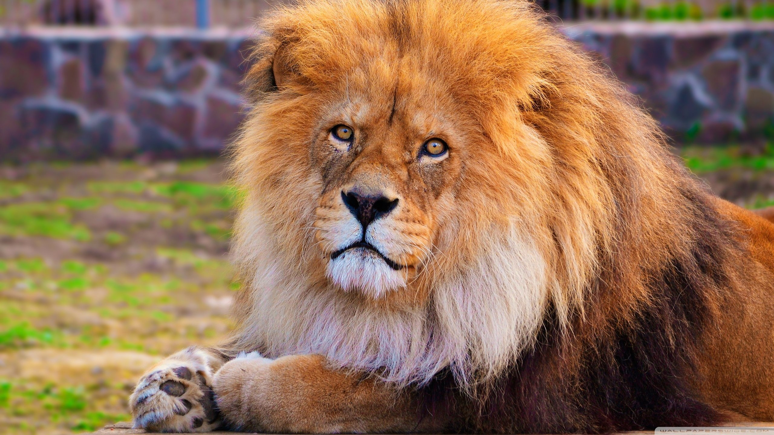 Awesome Lion free wallpaper ID:255457 for hd 2560x1440 desktop