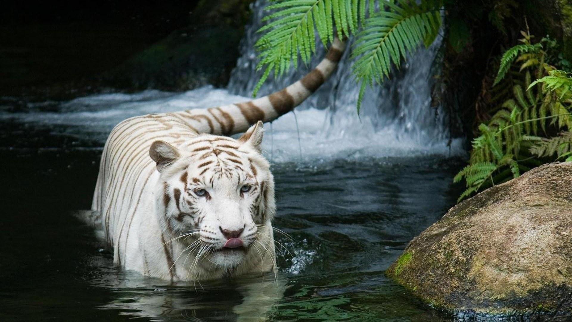 High resolution White Tiger full hd 1920x1080 background ID:174871 for computer