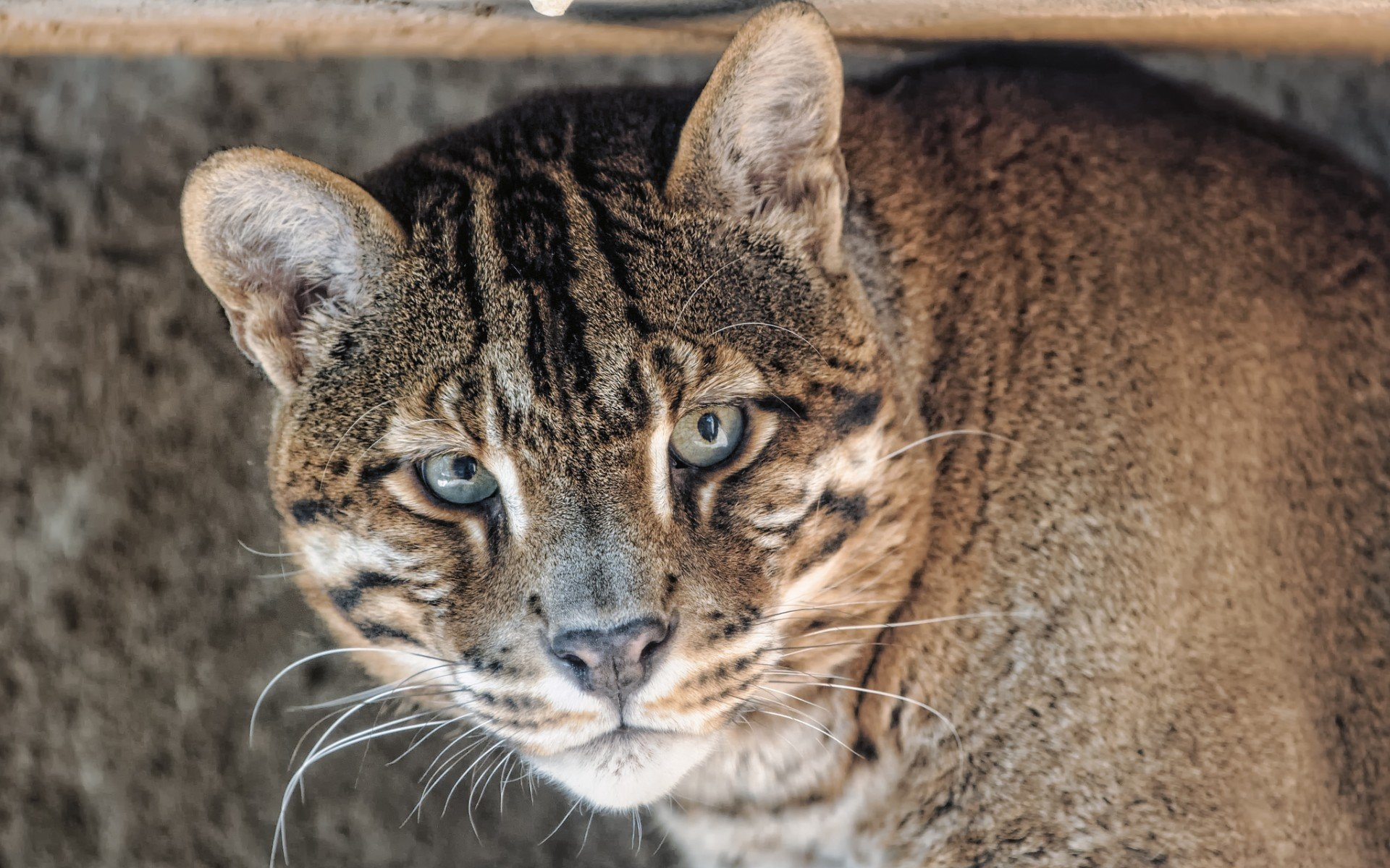Awesome Wildcat free background ID:467263 for hd 1920x1200 computer