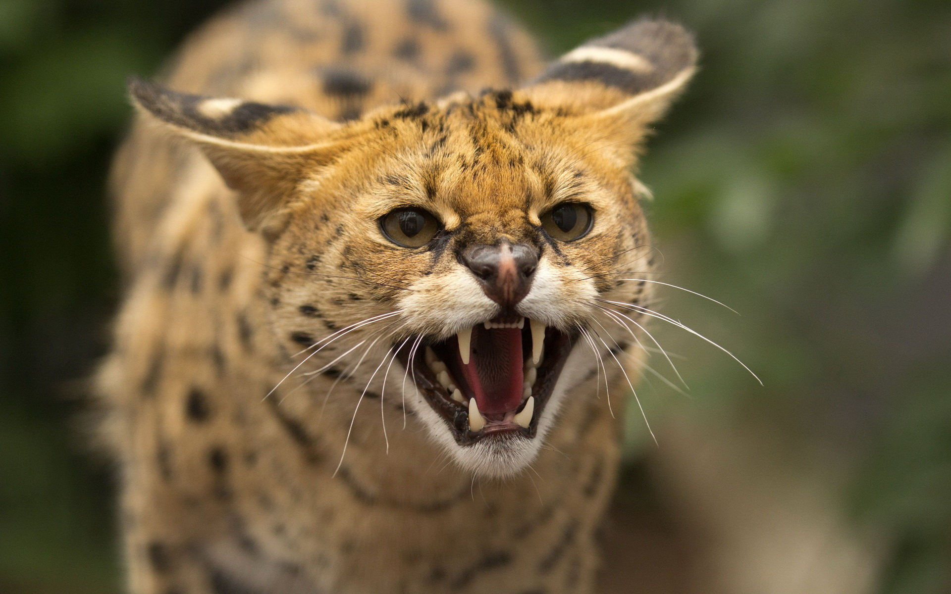 Best Wildcat wallpaper ID:467266 for High Resolution hd 1920x1200 PC