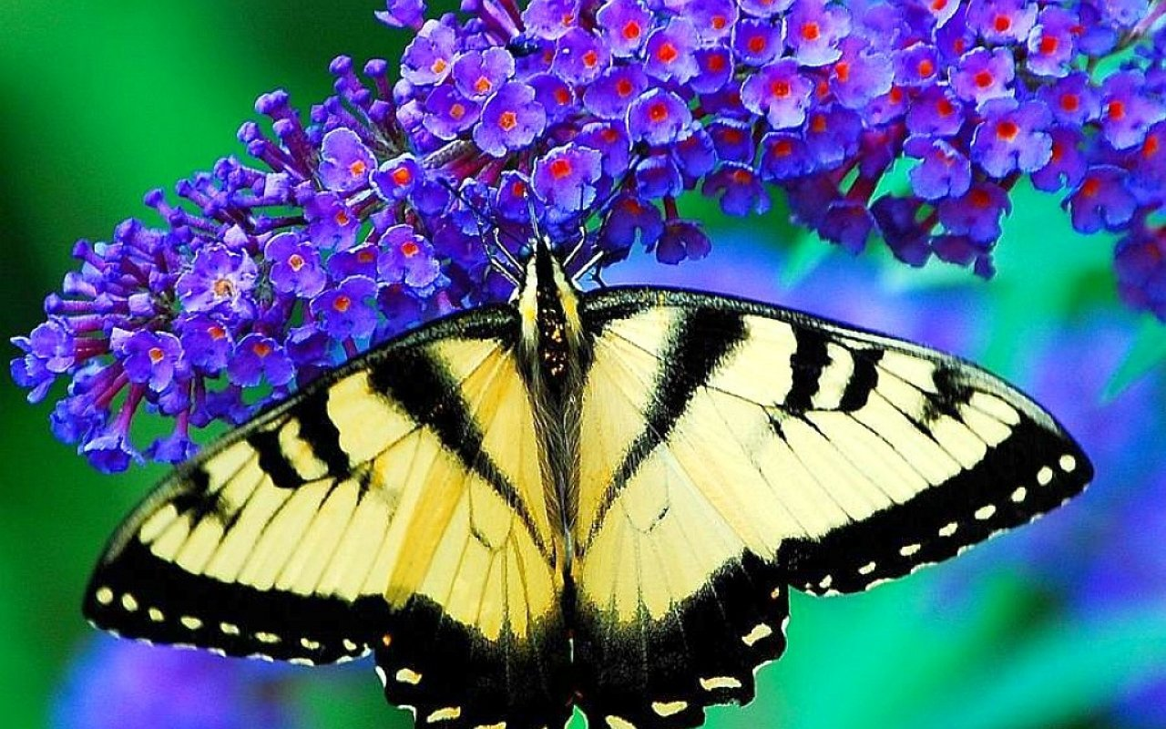 Download hd 1280x800 Butterfly computer background ID:168231 for free