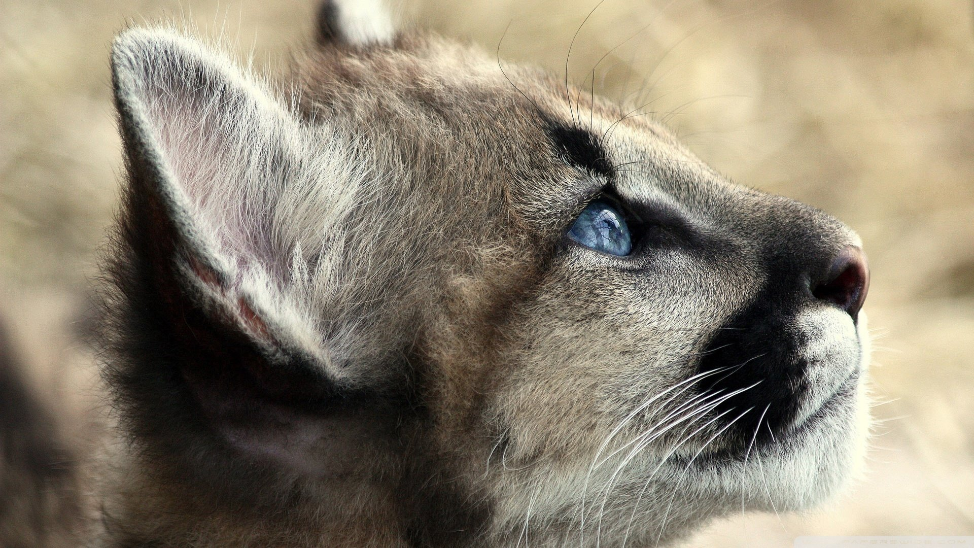 Free Cougar high quality background ID:81741 for full hd computer