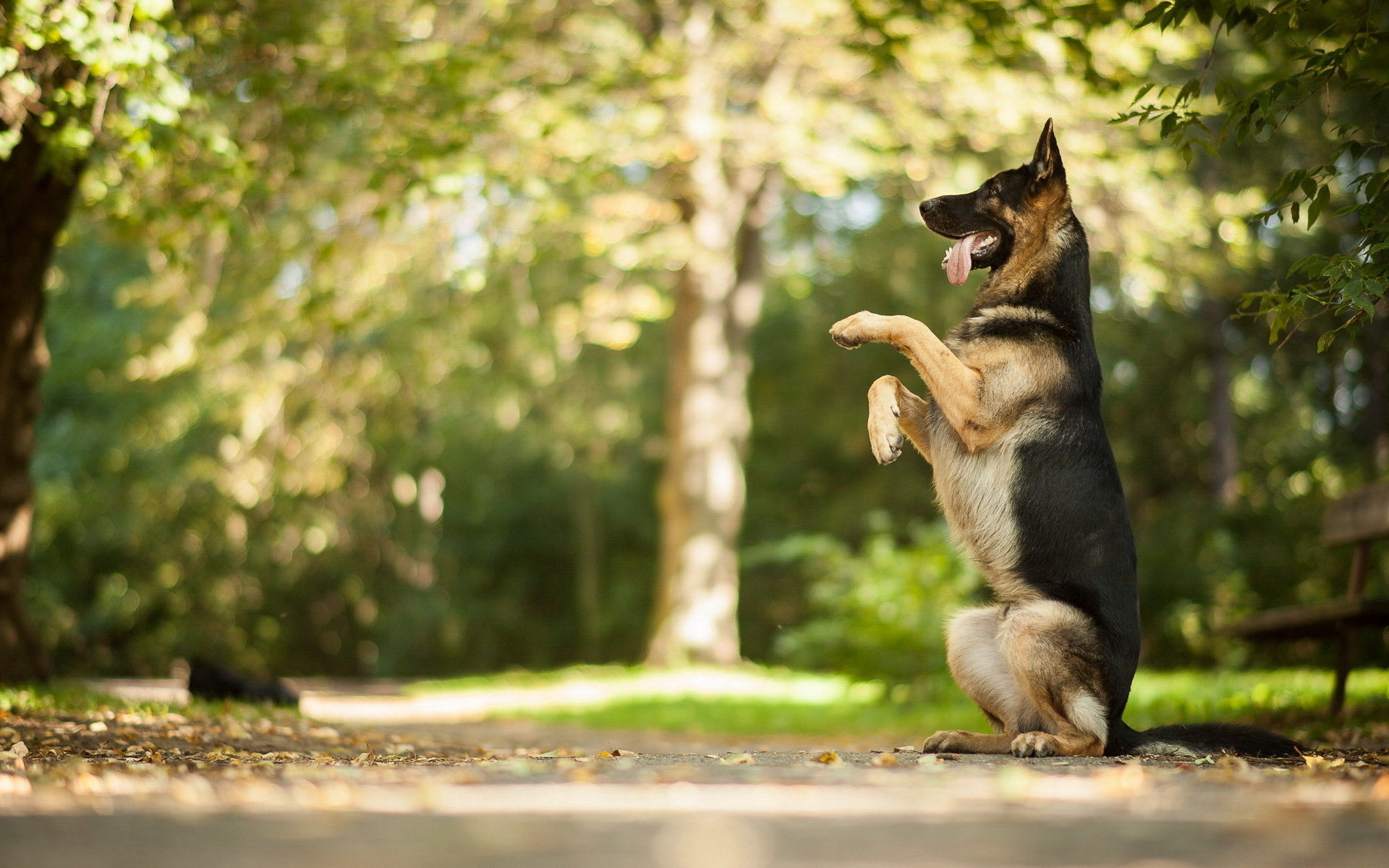 Awesome German Shepherd free background ID:111016 for hd 1920x1200 PC