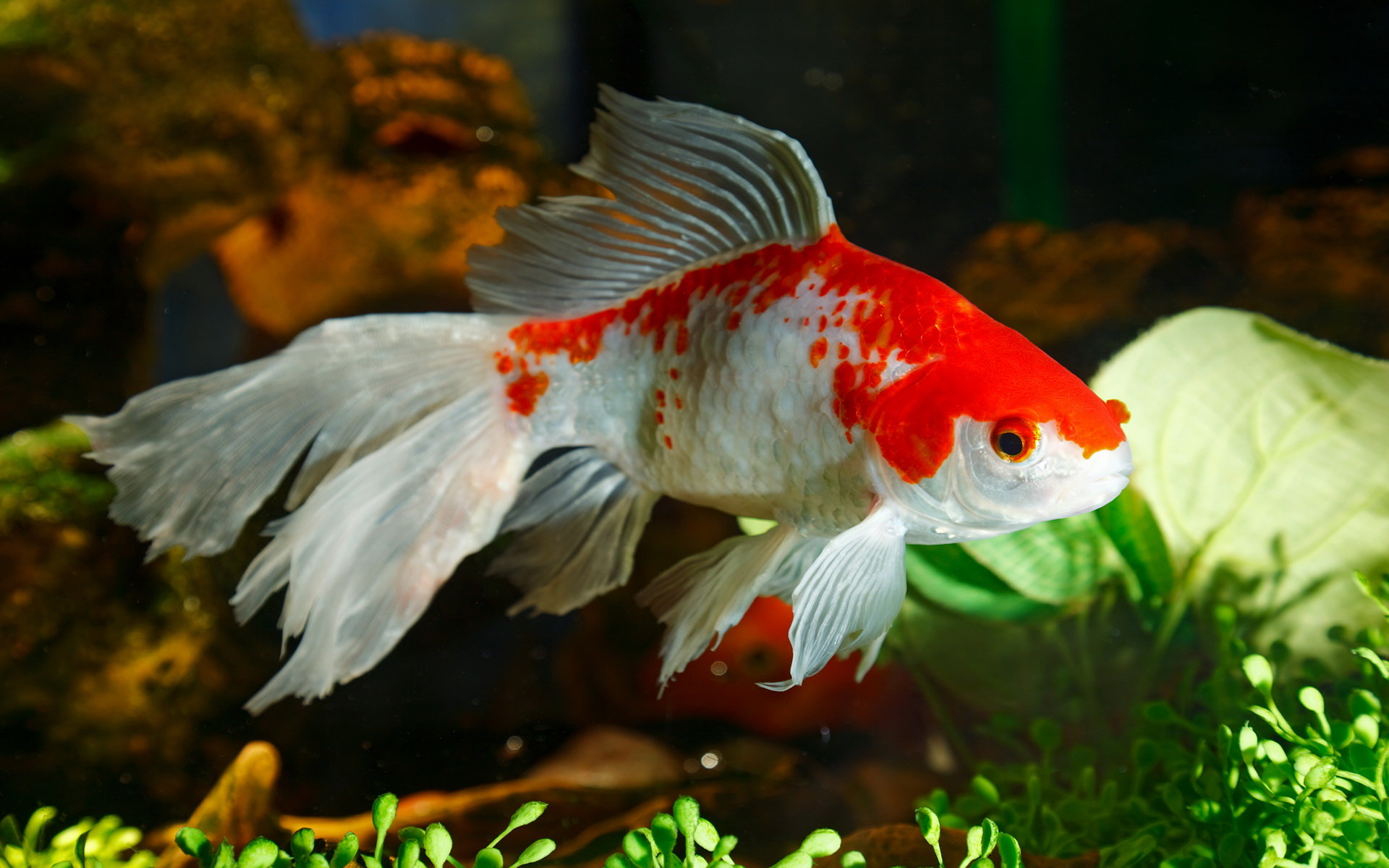 High Resolution Goldfish Hd 1920x1200 Wallpaper ID464110 For Desktop