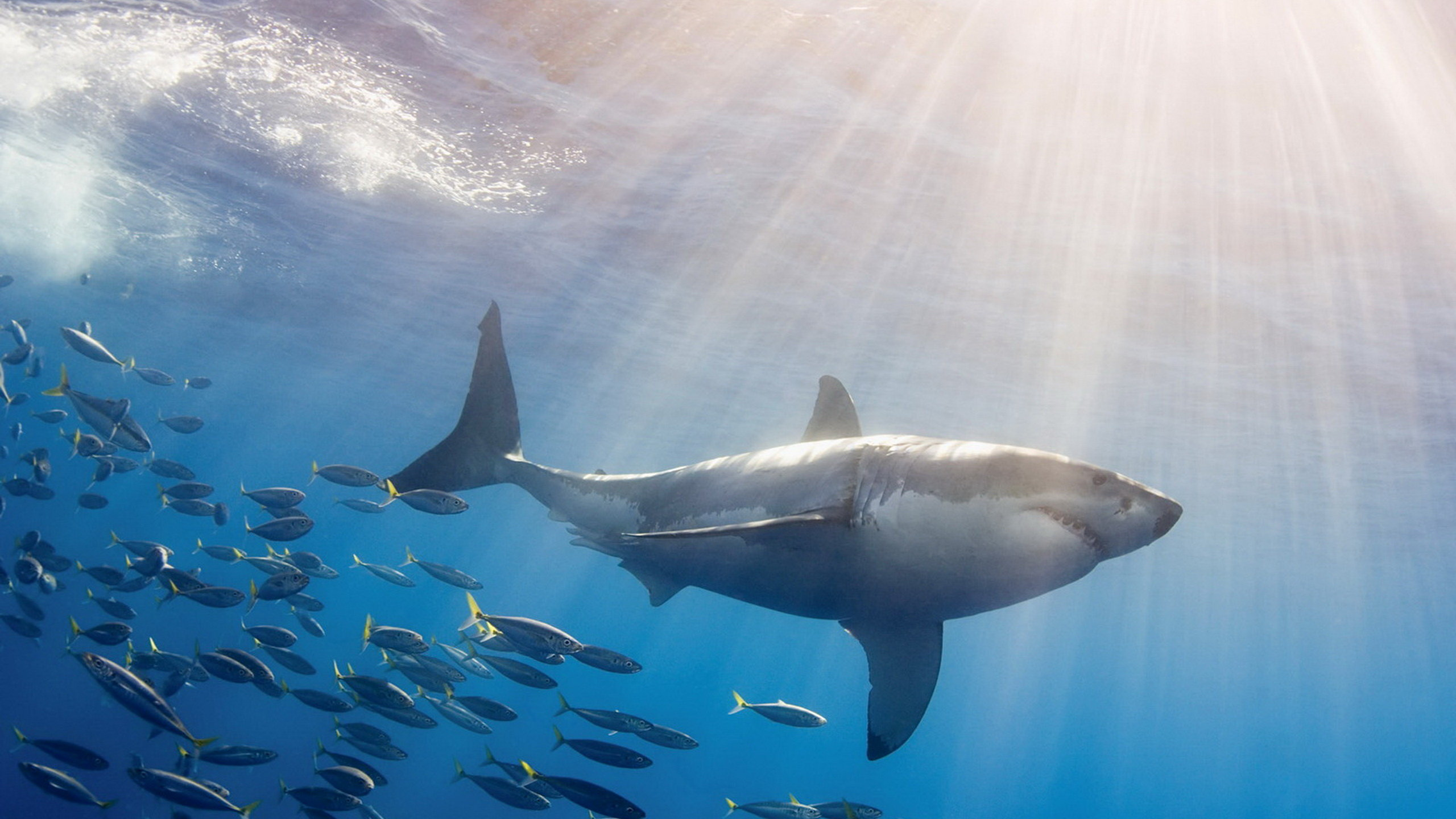 High resolution Great White Shark hd 2560x1440 wallpaper ID:374693 for computer