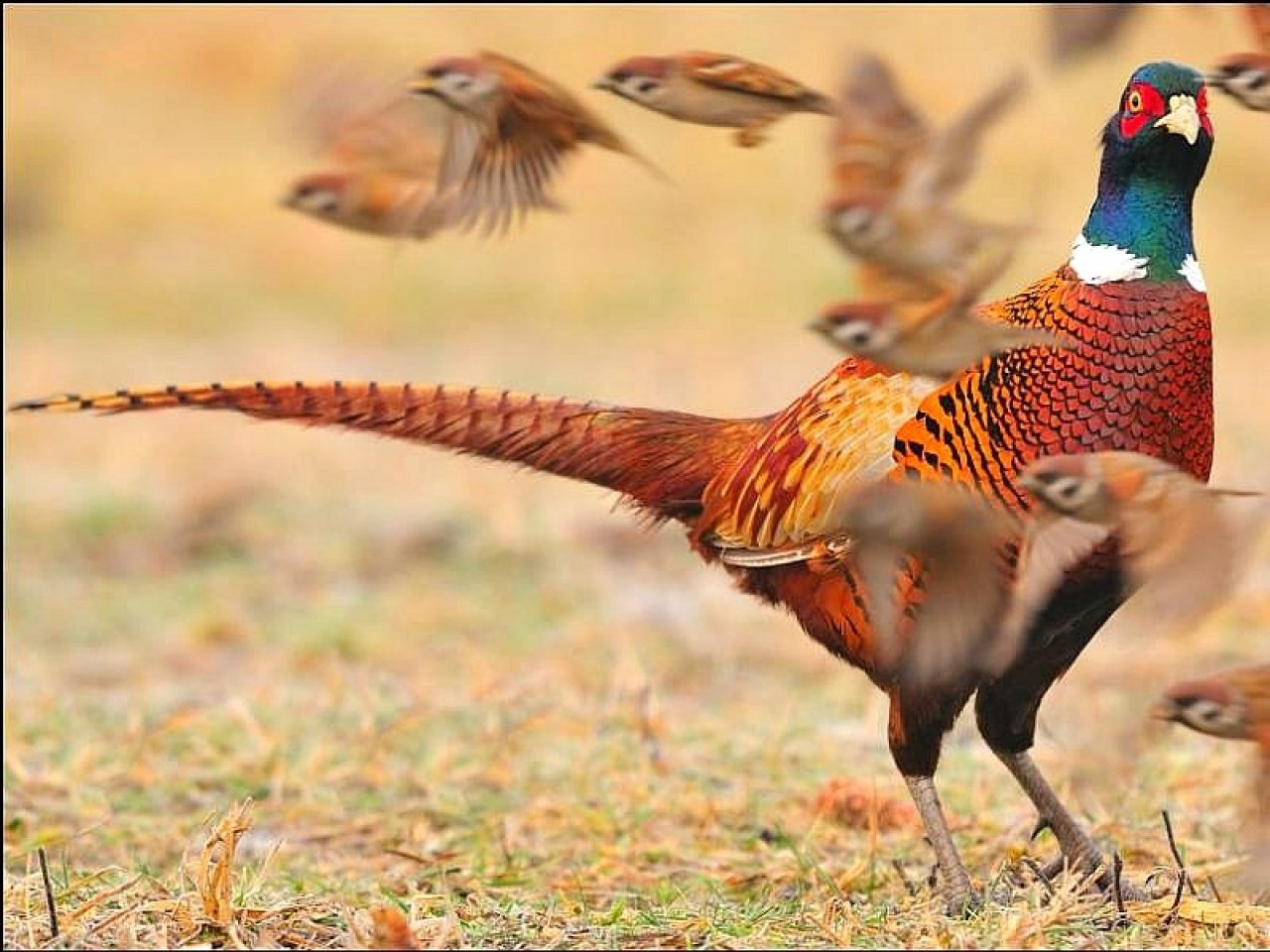 Download hd 1280x960 Pheasant desktop background ID:283837 for free