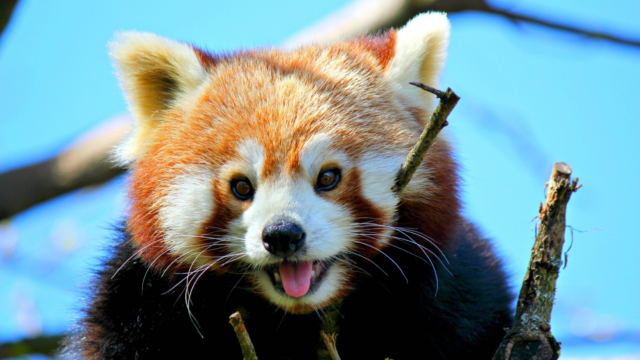 Free Red Panda high quality background ID:64048 for hd 2560x1440 desktop