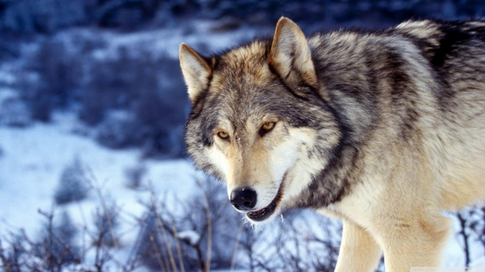 Free download Wolf background ID:118251 hd 1600x900 for desktop