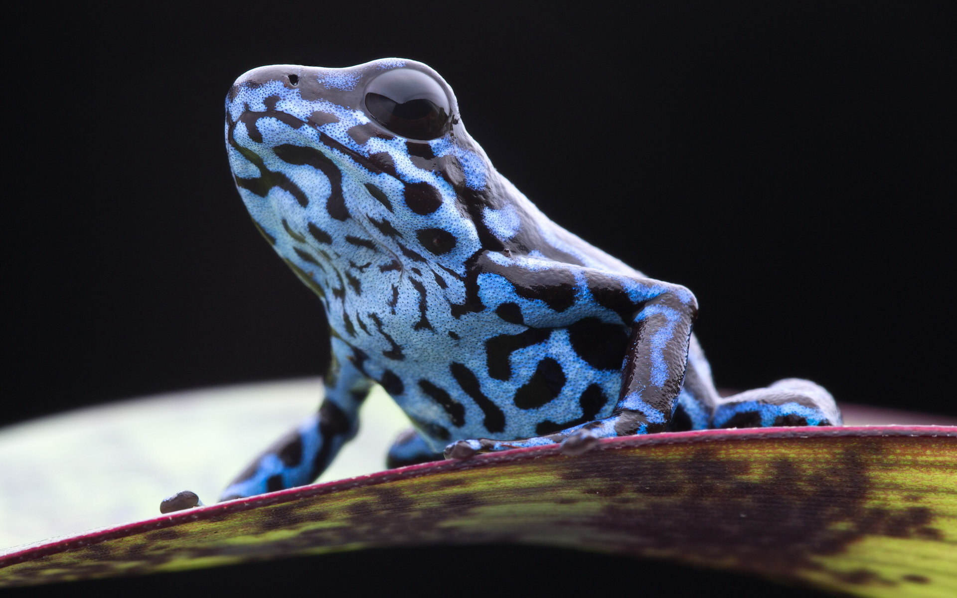 Free Poison Dart Frog high quality background ID:253497 for hd 1920x1200 PC