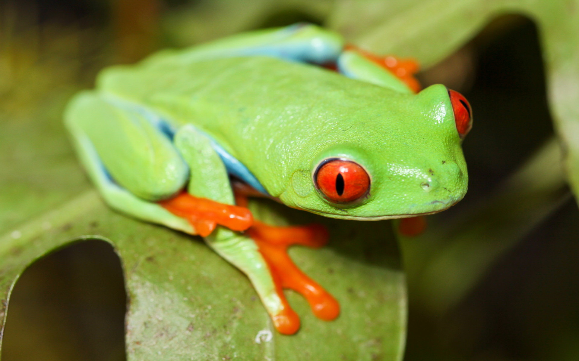Awesome Red Eyed Tree Frog free wallpaper ID:20221 for hd 1920x1200 computer