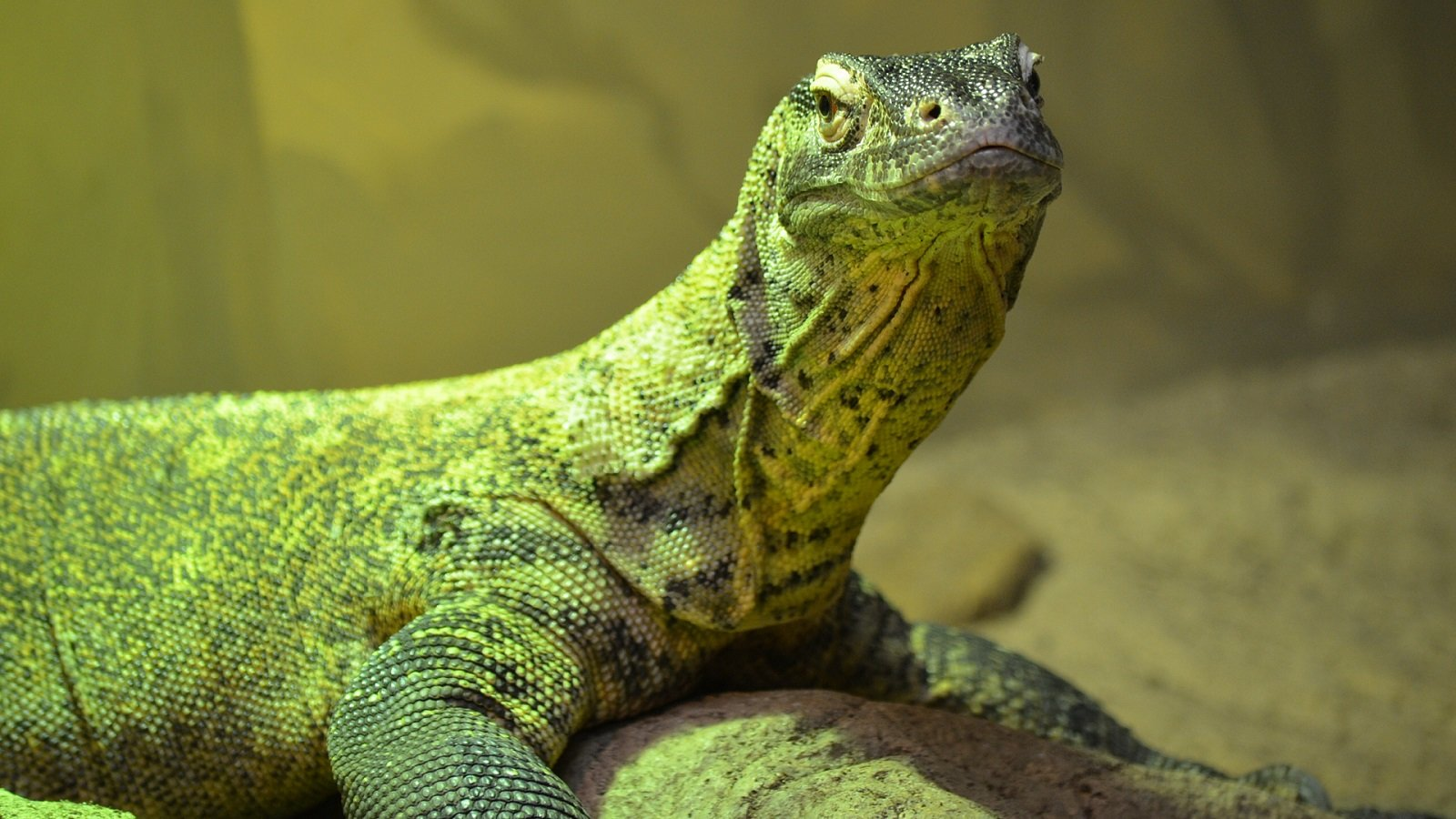 Awesome Komodo Dragon free background ID:99544 for hd 1600x900 computer