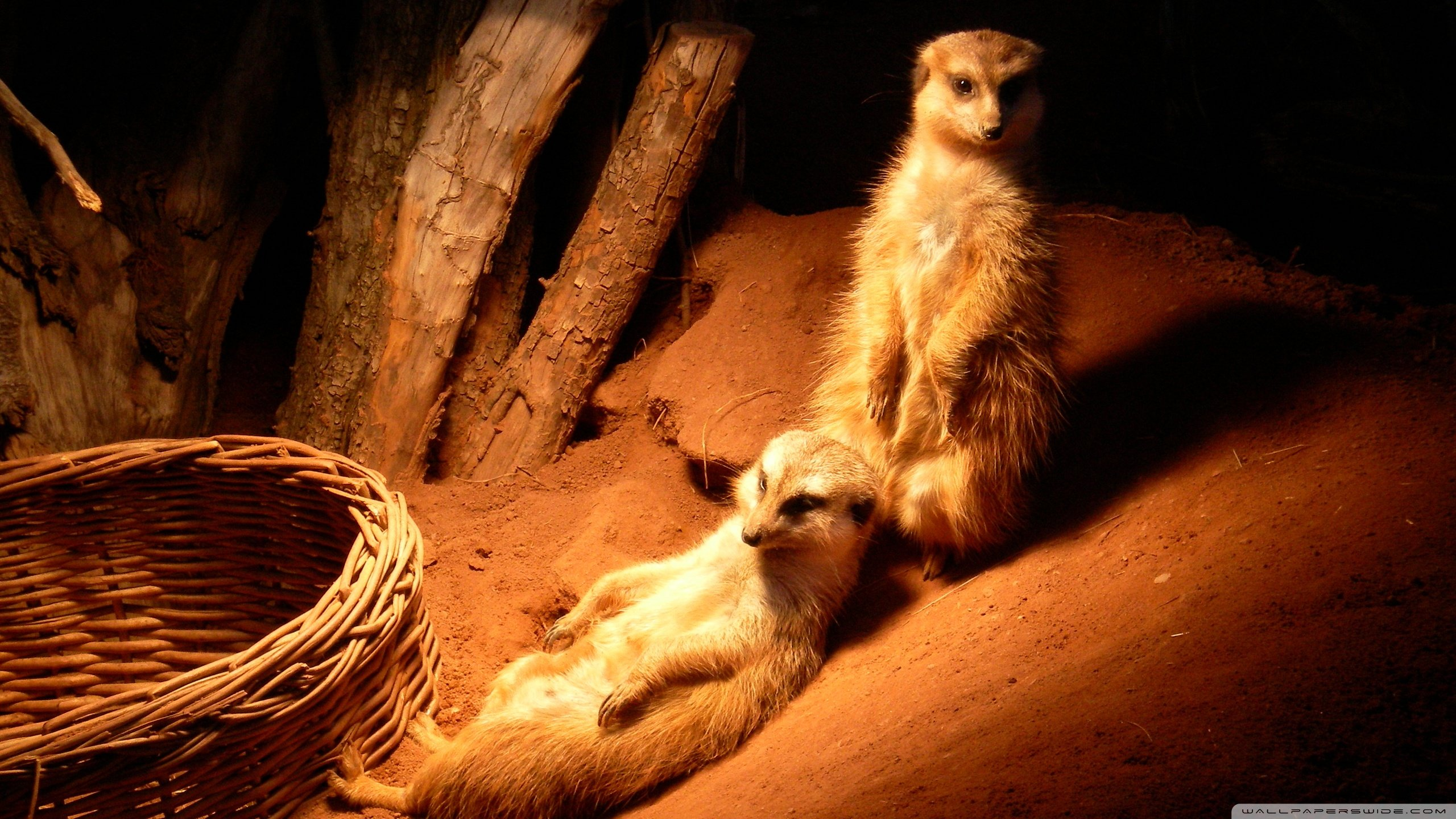 Best Meerkat wallpaper ID:164567 for High Resolution hd 2560x1440 PC