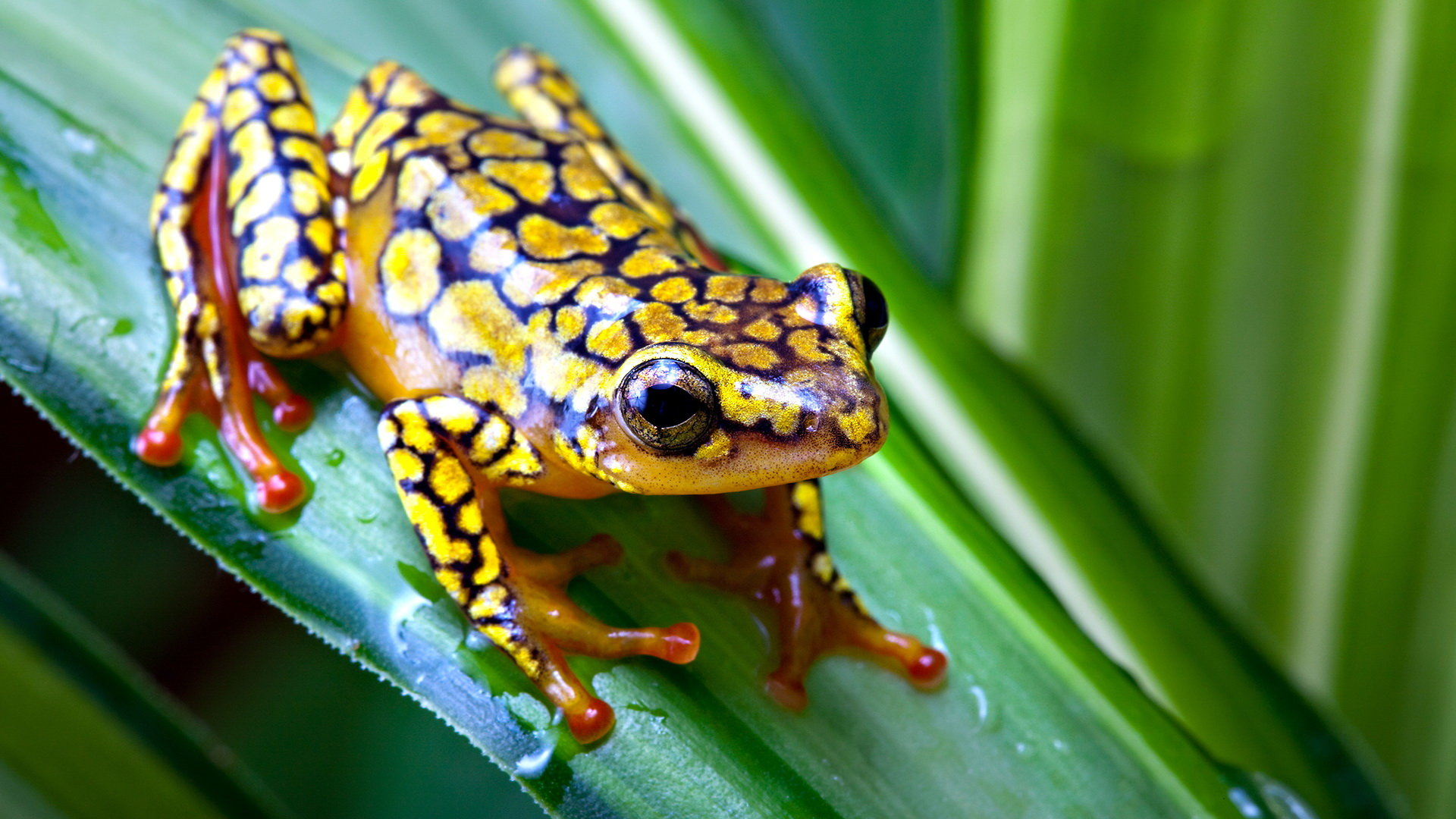 Awesome Poison Dart Frog free wallpaper ID:253492 for hd 1920x1080 desktop