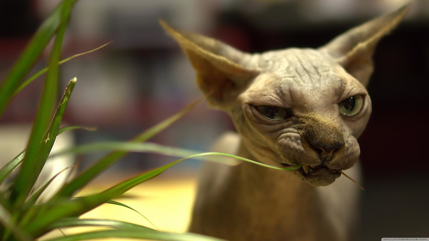 Free Sphynx Cat high quality background ID:449306 for 1366x768 laptop desktop