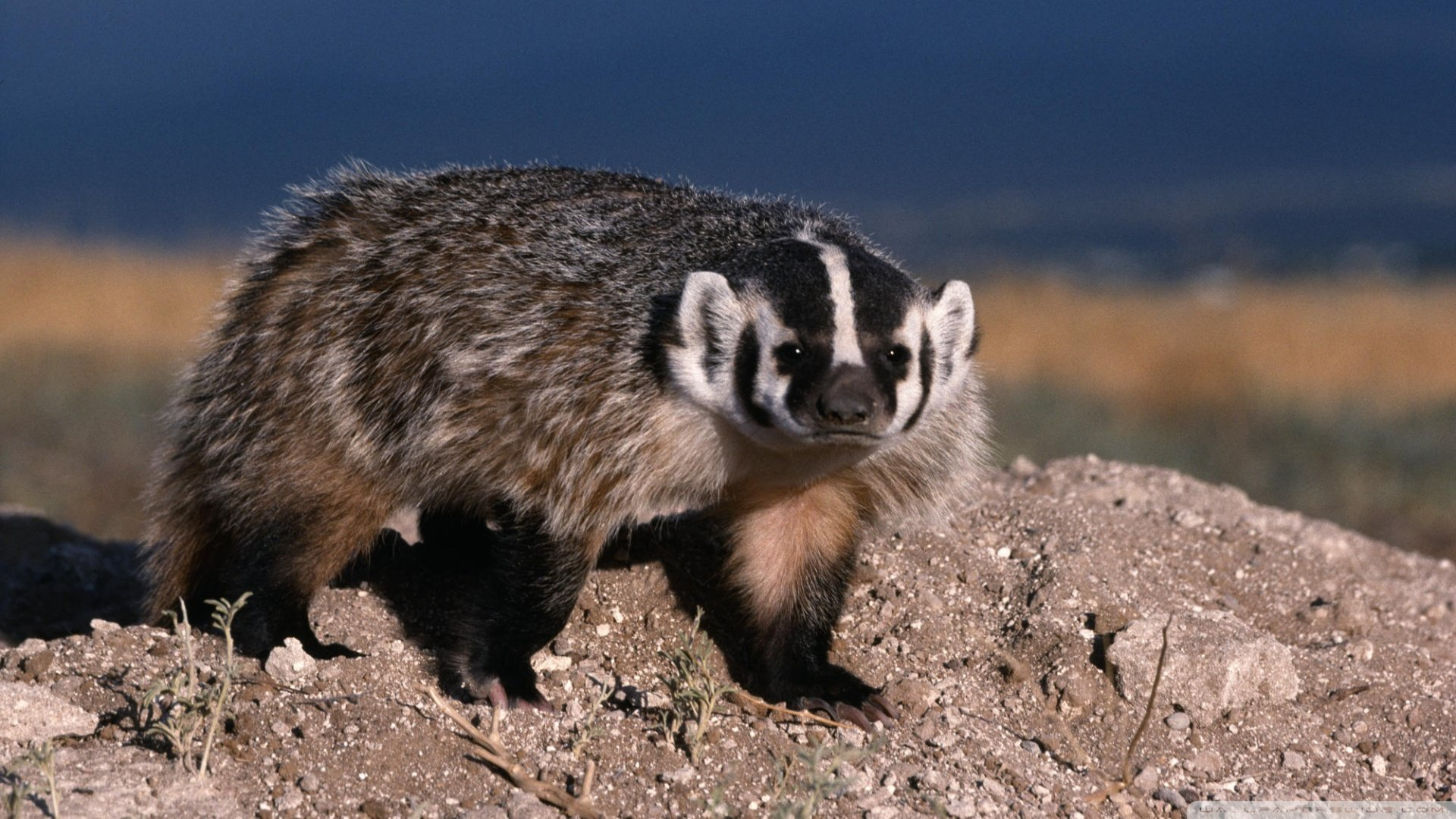 Awesome Badger free background ID:142322 for hd 1080p PC
