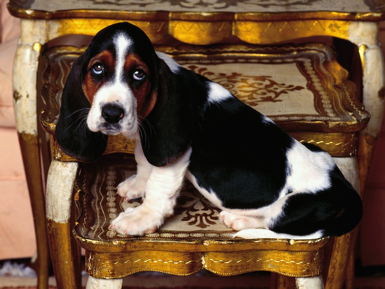 Free download Basset Hound wallpaper ID:214124 hd 1600x1200 for computer