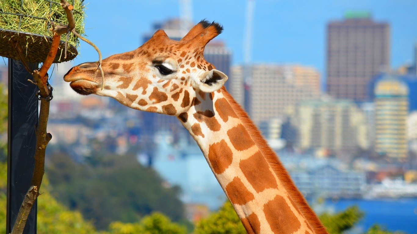 High resolution Giraffe hd 1366x768 background ID:332553 for computer