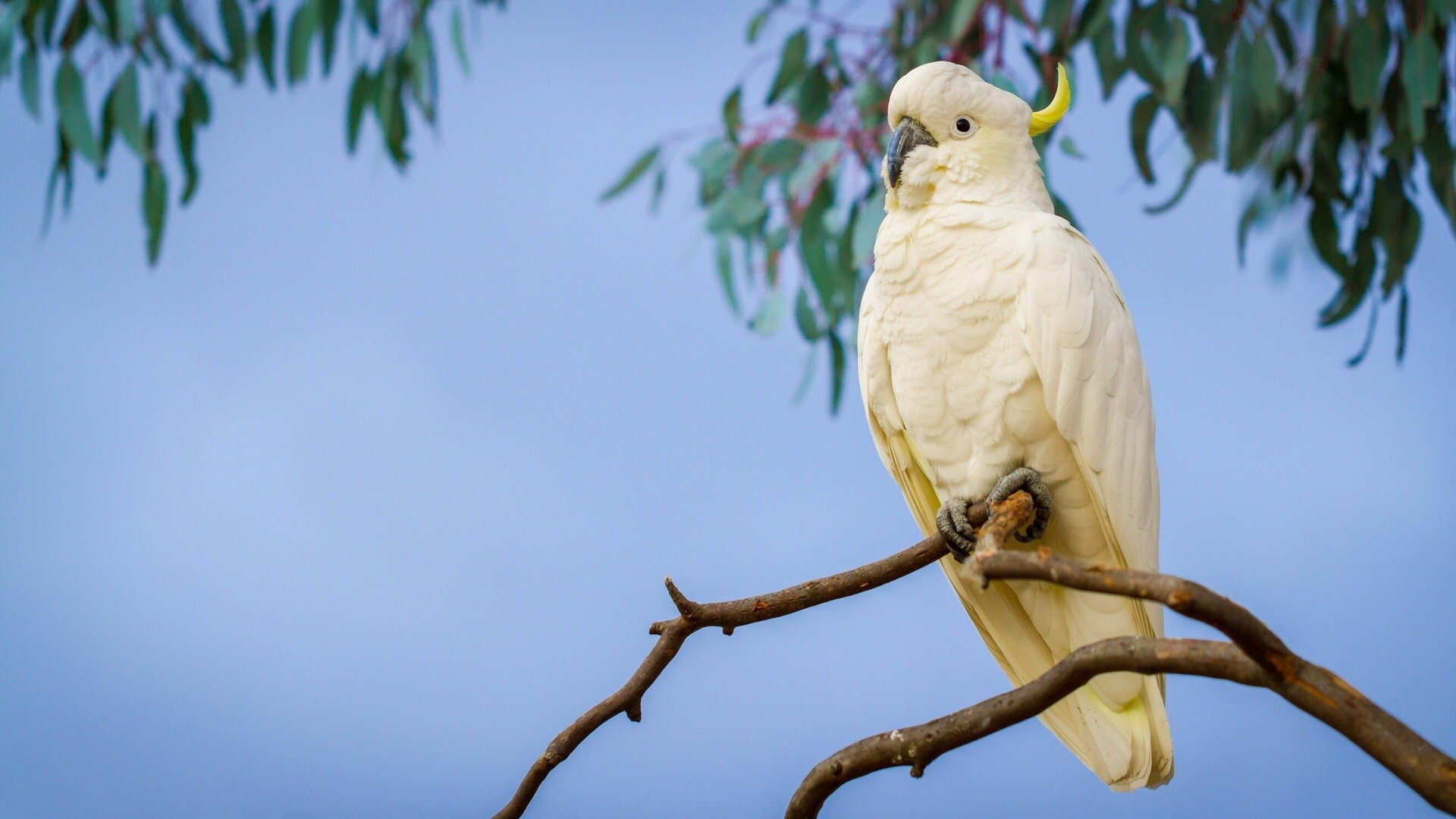 Free download Sulphur-crested Cockatoo background ID:130233 hd 1080p for computer