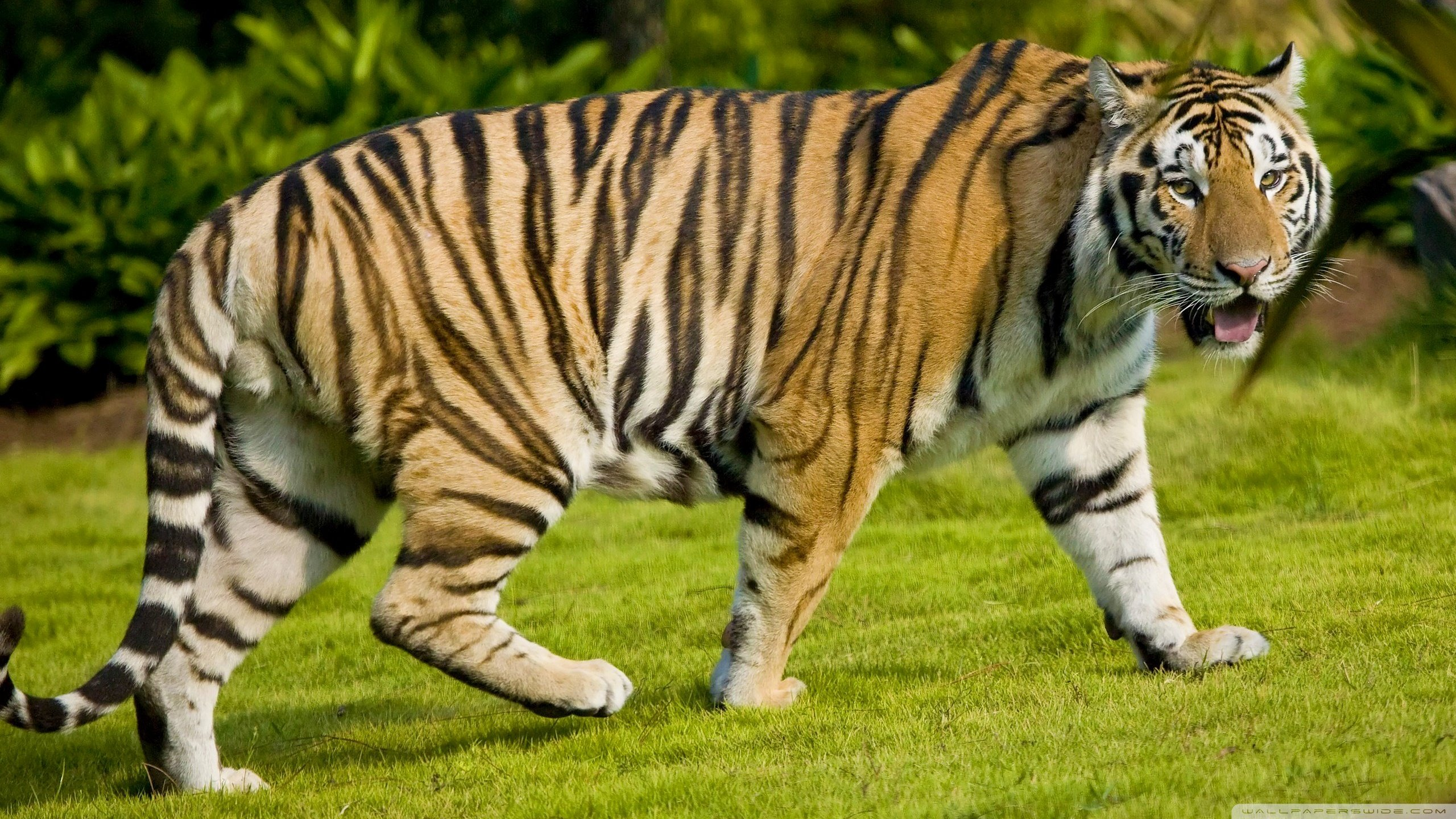 Awesome Tiger free background ID:115945 for hd 2560x1440 desktop
