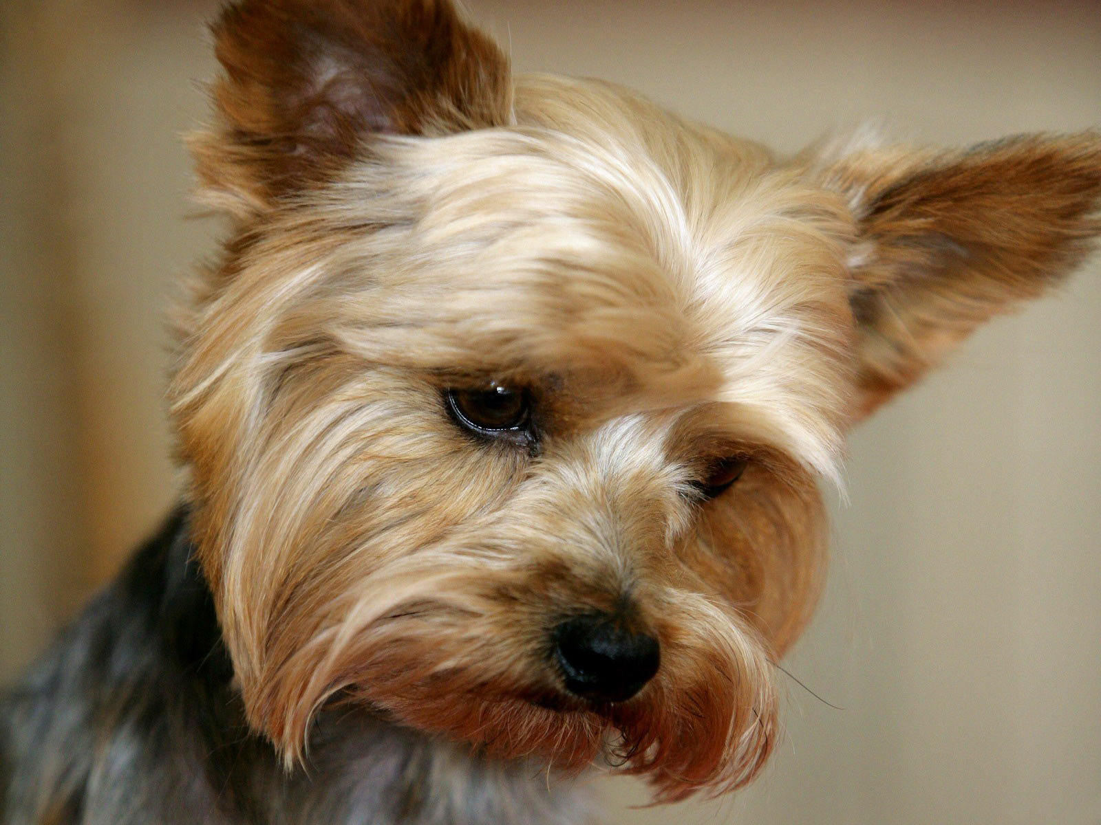 High resolution Yorkshire Terrier hd 1600x1200 wallpaper ID:110971 for computer