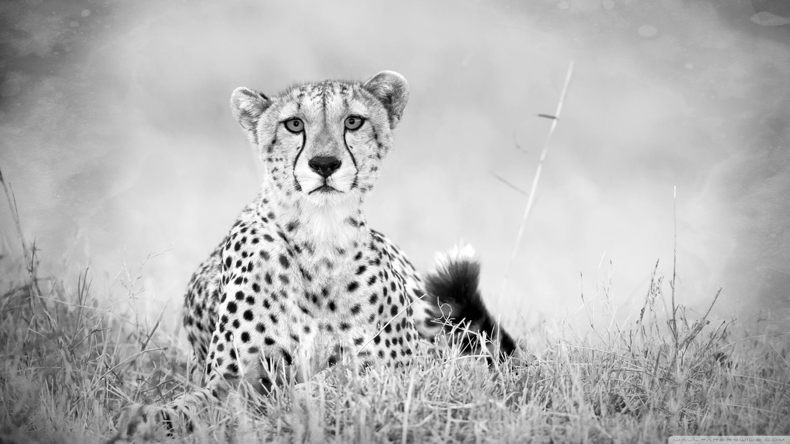 High resolution Cheetah hd 2560x1440 background ID:161899 for desktop