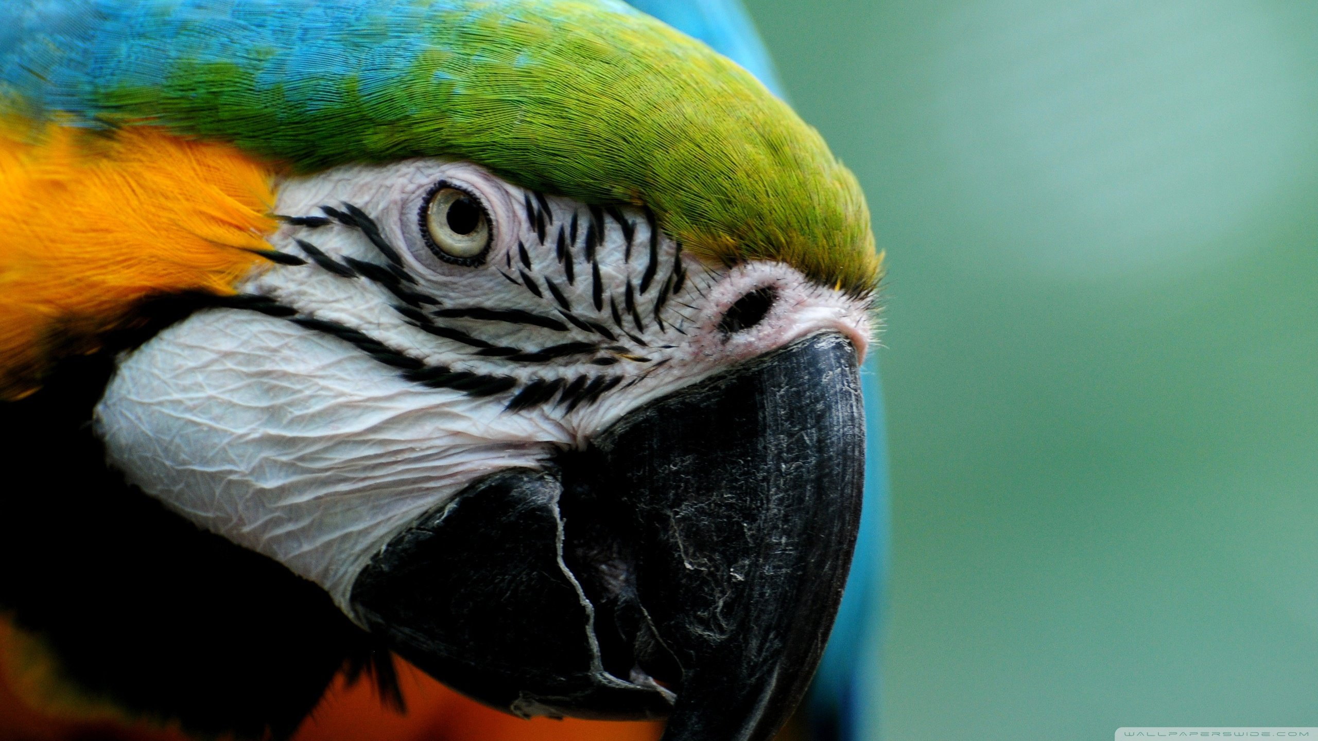 Best Macaw background ID:46461 for High Resolution hd 2560x1440 PC