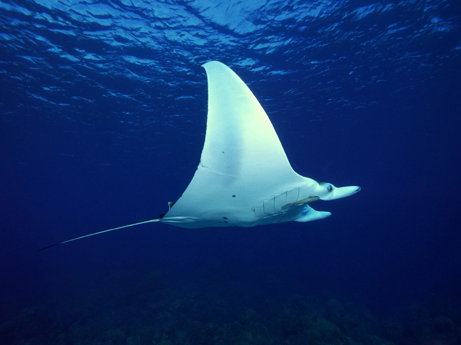 Free download Manta Ray background ID:346053 hd 1600x1200 for PC