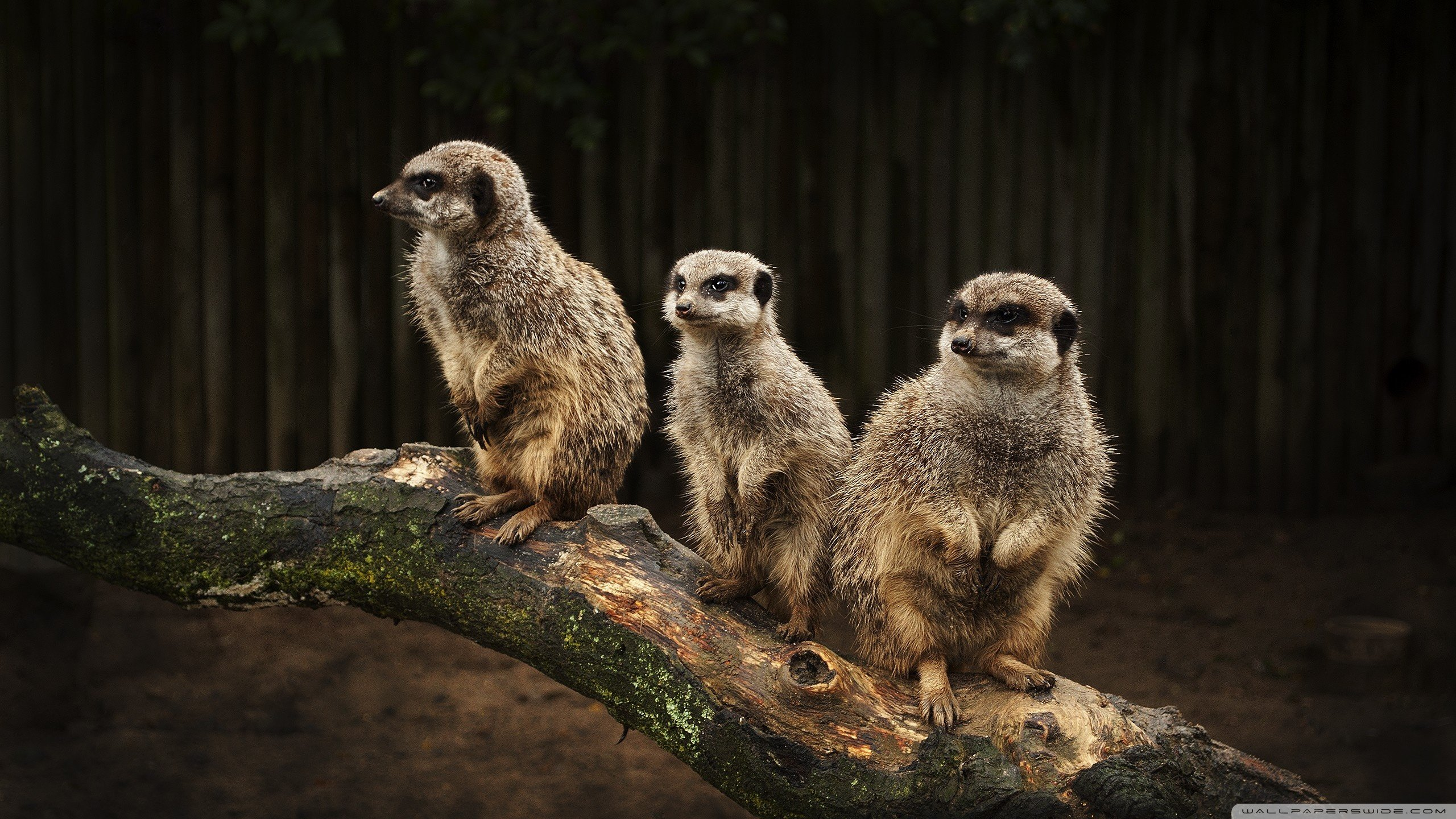 Download hd 2560x1440 Meerkat PC wallpaper ID:164564 for free