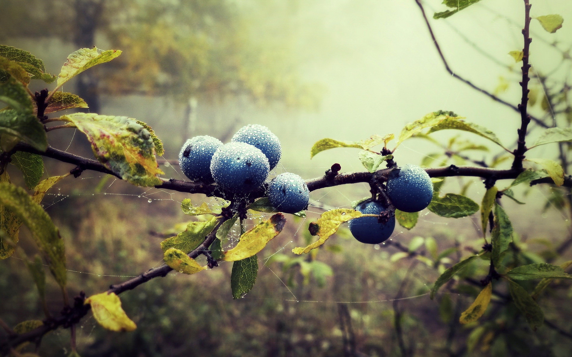 Awesome Blueberry free background ID:69014 for hd 1920x1200 PC