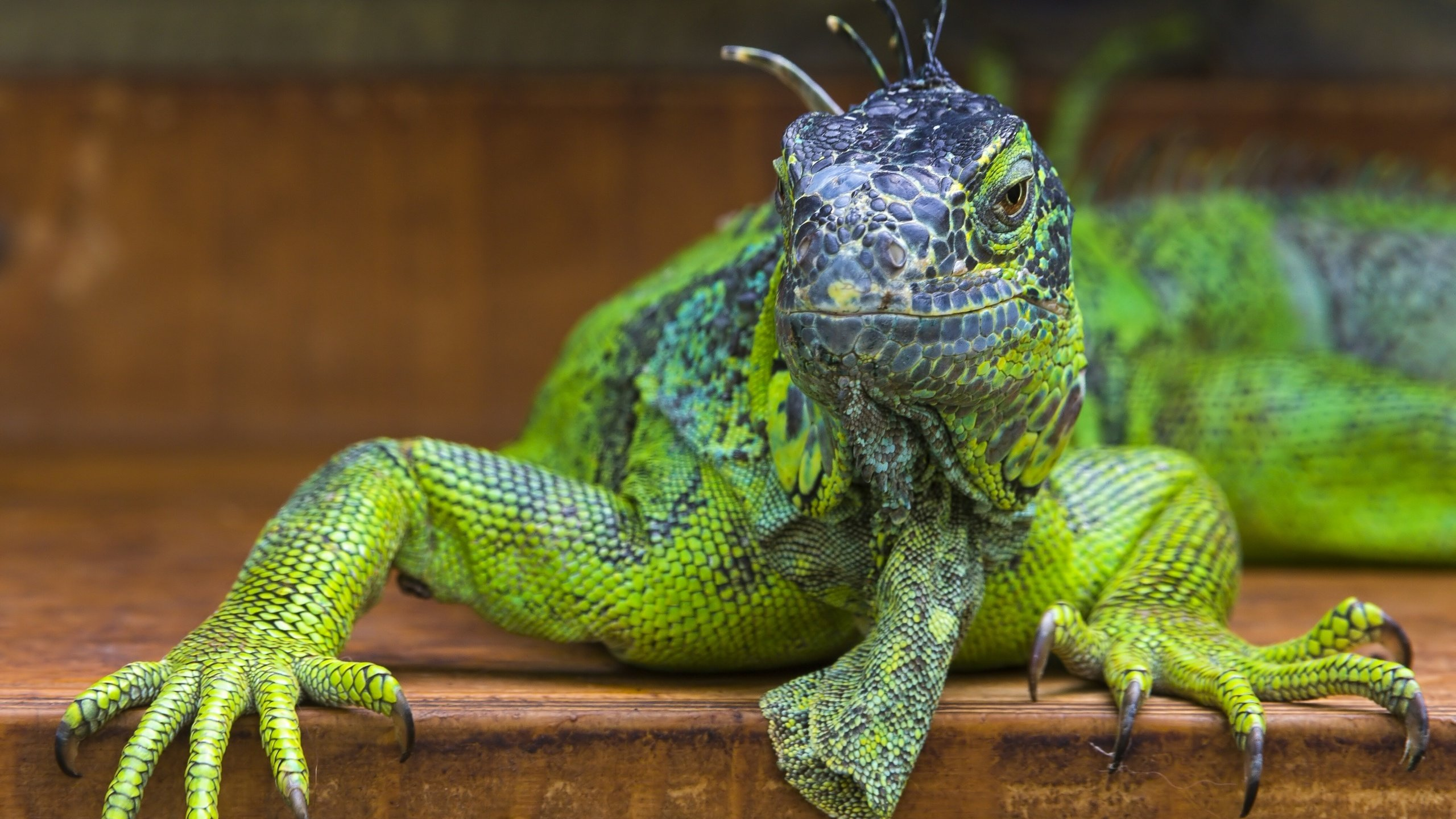 High resolution Iguana hd 2560x1440 wallpaper ID:380940 for desktop