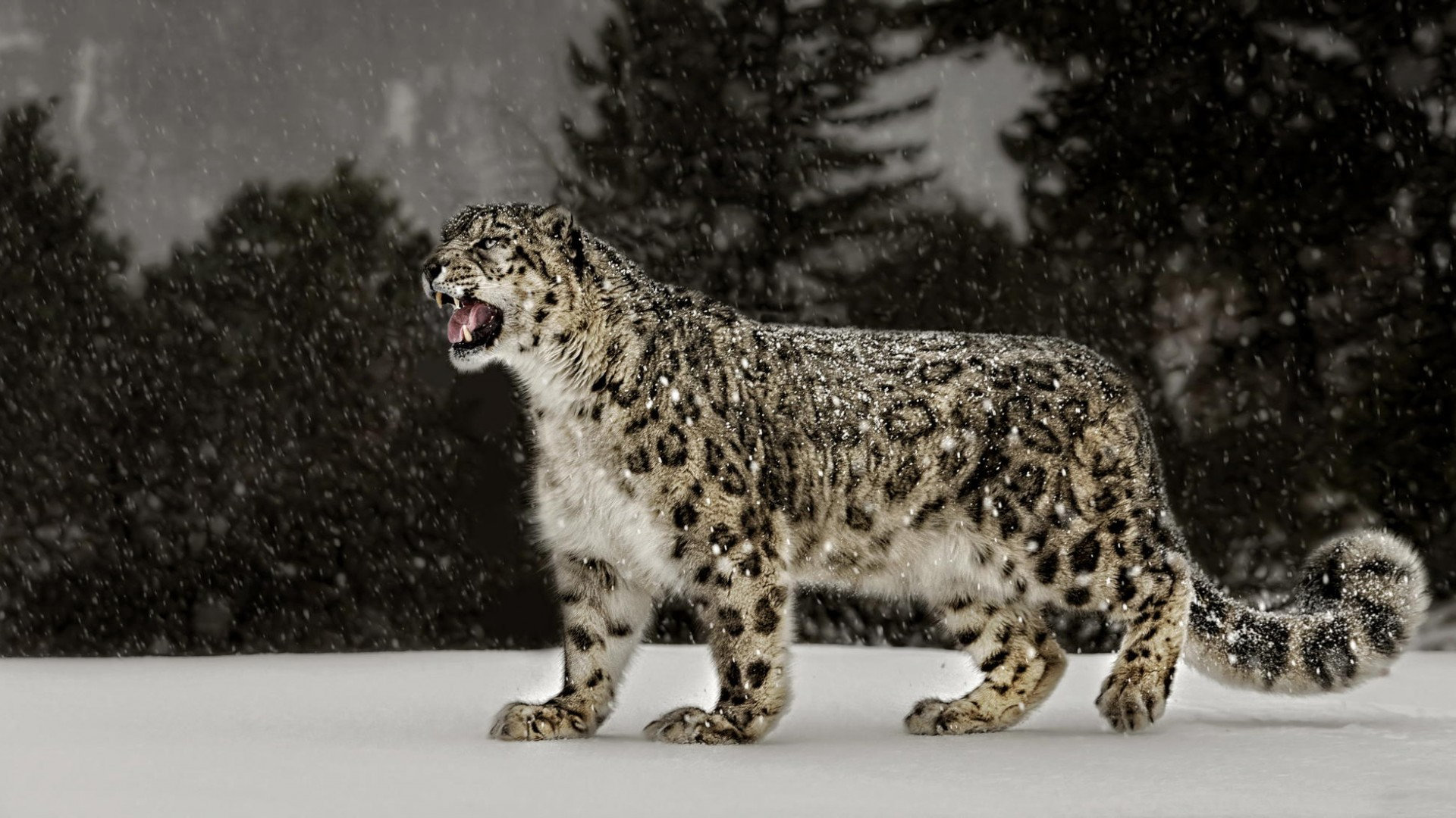 Free download Snow Leopard wallpaper ID:34313 full hd 1080p for computer