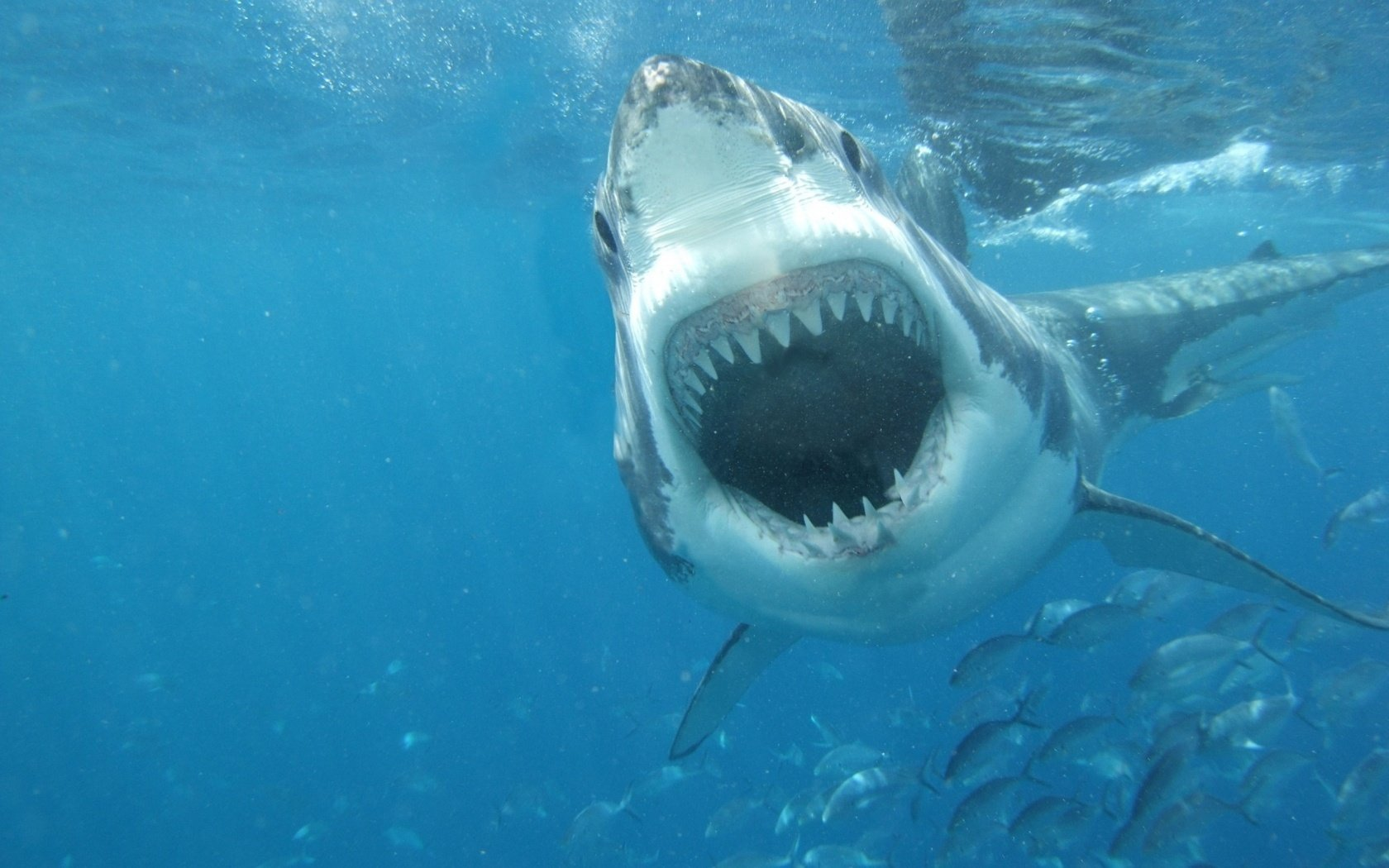 High resolution Great White Shark hd 1680x1050 wallpaper ID:374696 for PC