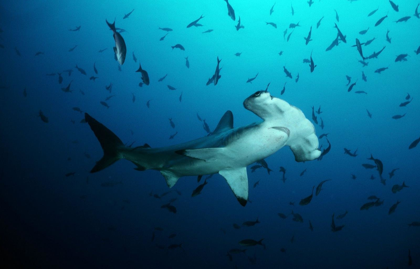 Download hd 1600x1024 Hammerhead Shark PC background ID:469900 for free