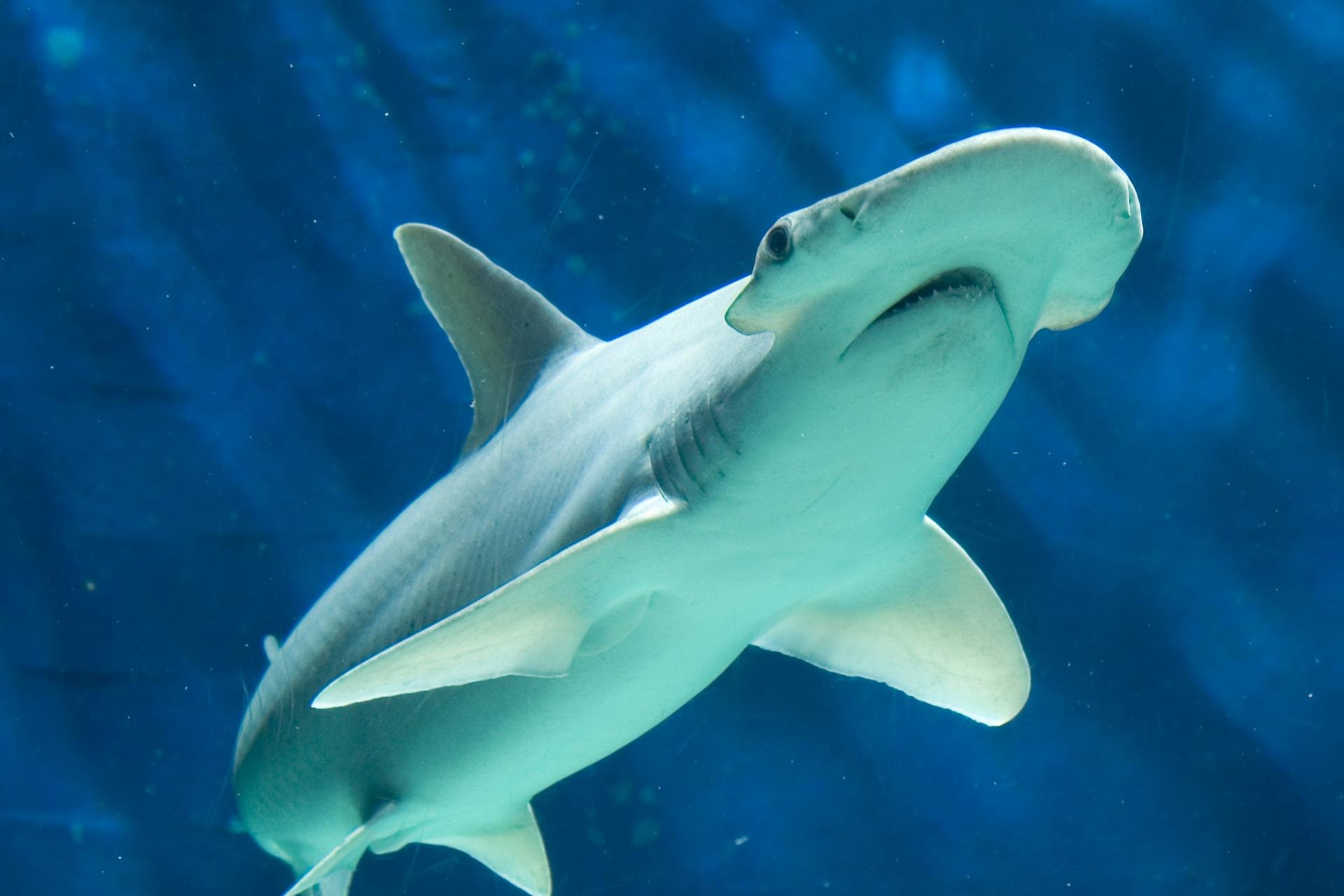 Best Hammerhead Shark background ID:469895 for High Resolution hd 1920x1280 PC