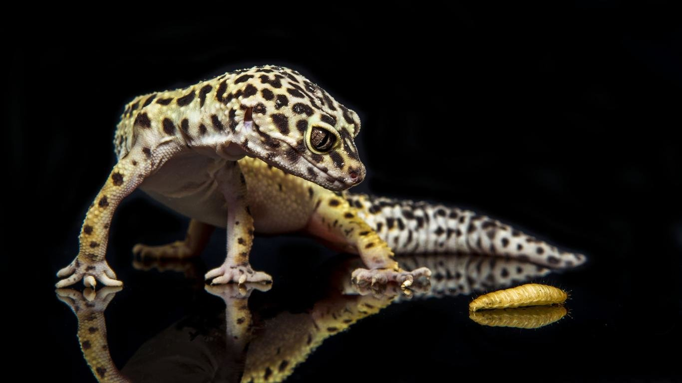Best Leopard Gecko background ID:357670 for High Resolution hd 1366x768 desktop