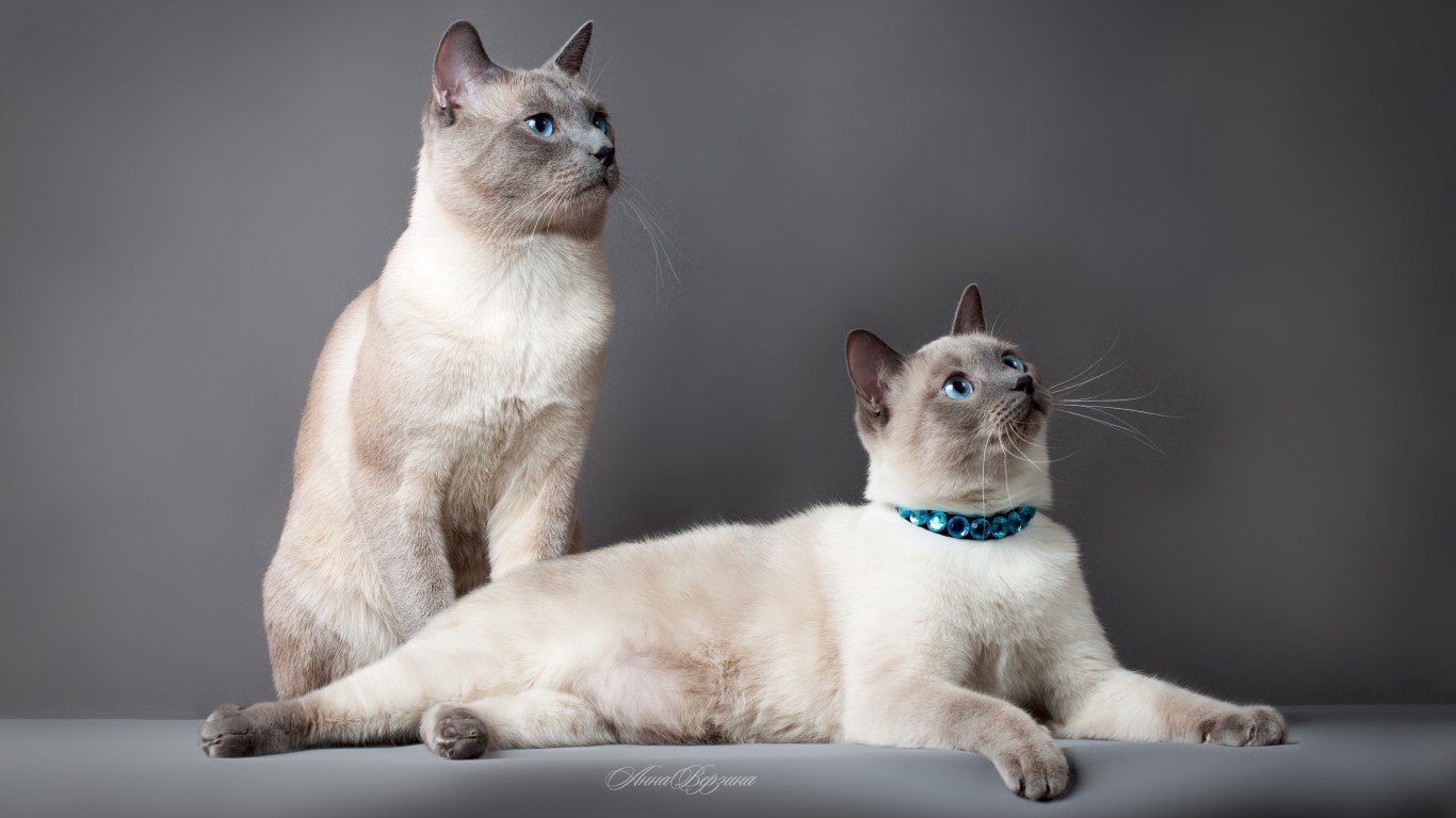 Free Siamese Cat high quality wallpaper ID:53377 for 1366x768 laptop PC