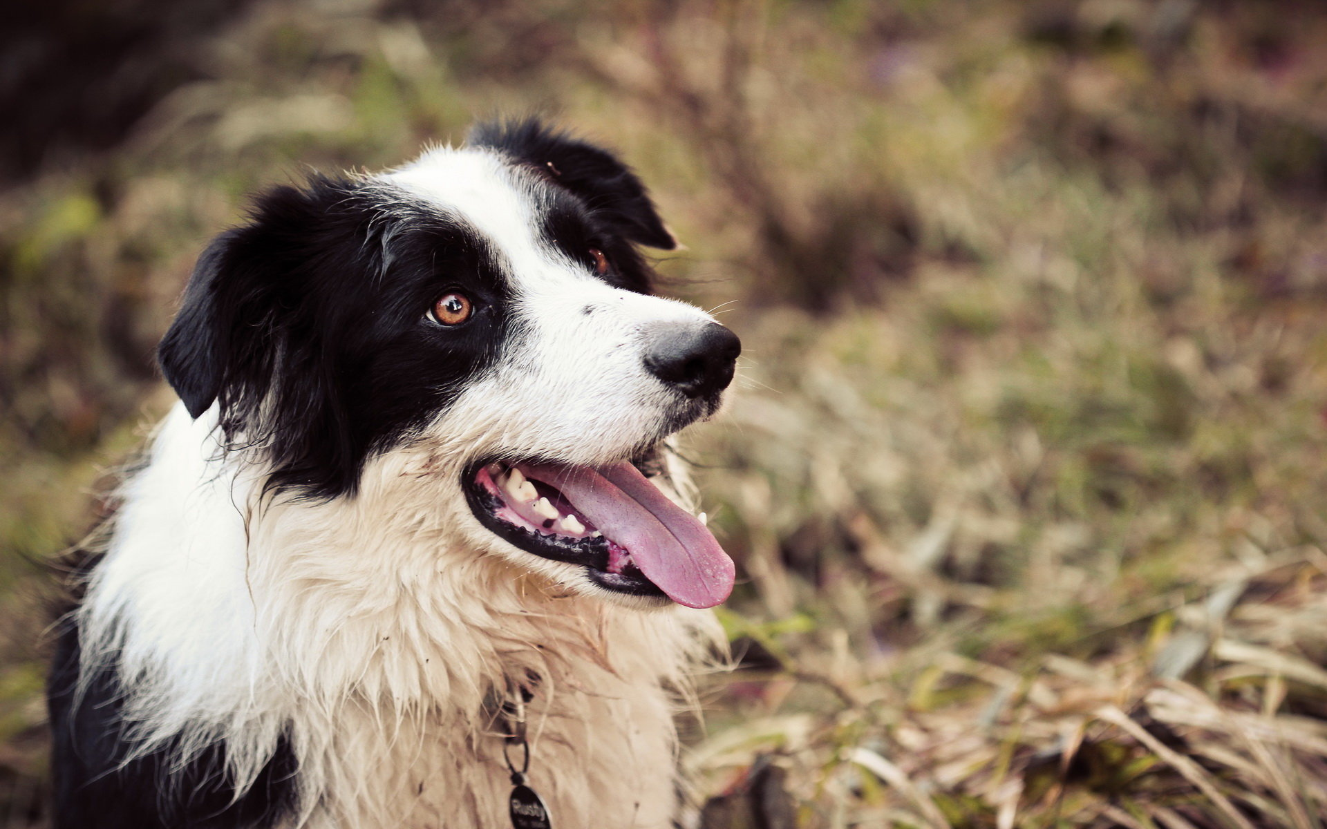 Download hd 1920x1200 Border Collie desktop background ID:165877 for free