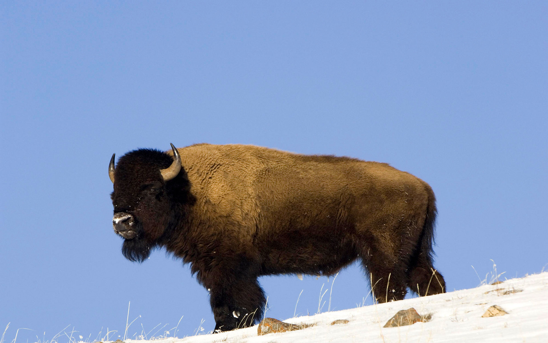 Awesome Bison free wallpaper ID:130644 for hd 1920x1200 computer