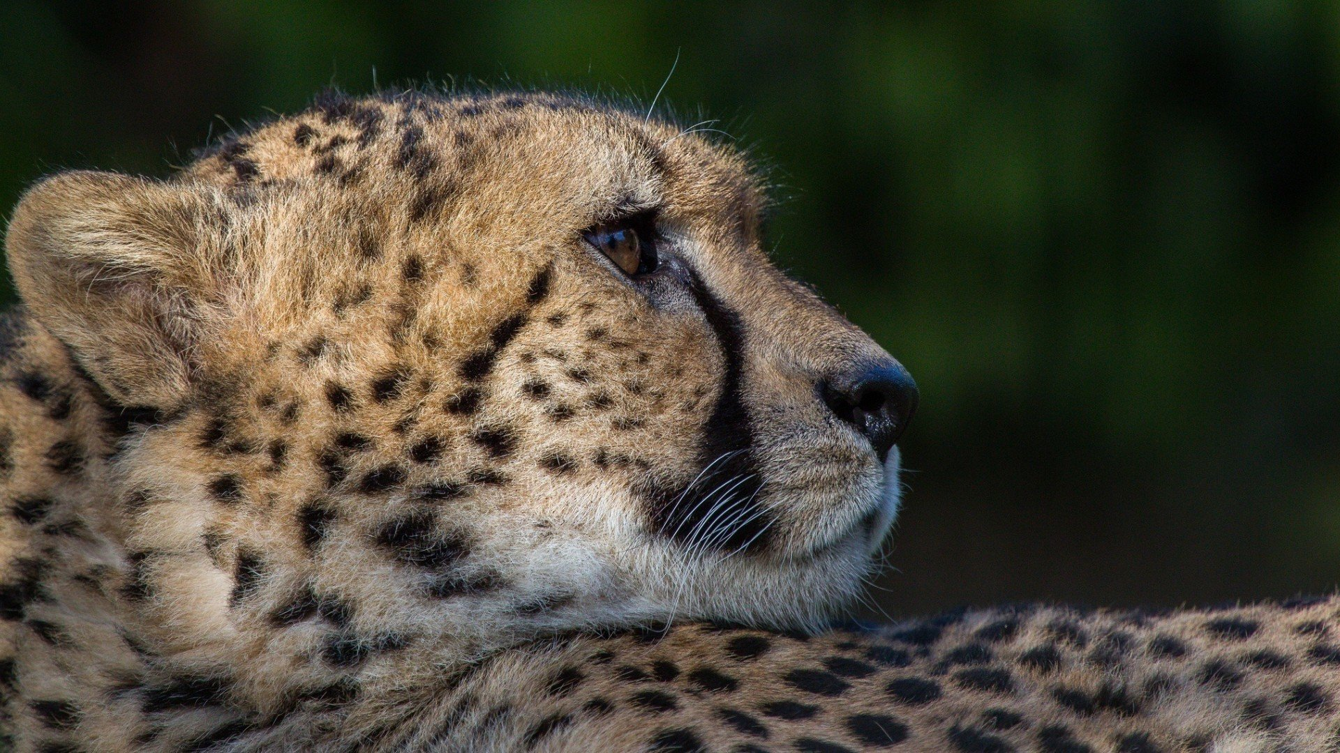 High resolution Cheetah full hd 1080p wallpaper ID:161897 for desktop