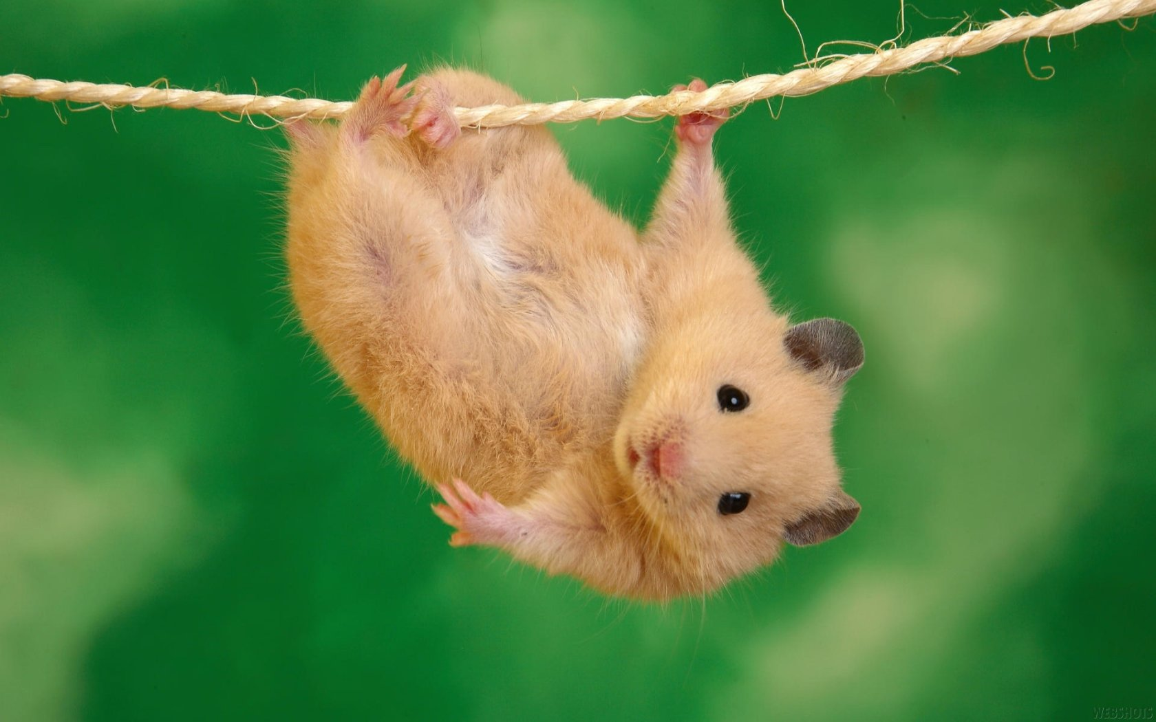 Free Hamster high quality wallpaper ID:234035 for hd 1680x1050 desktop