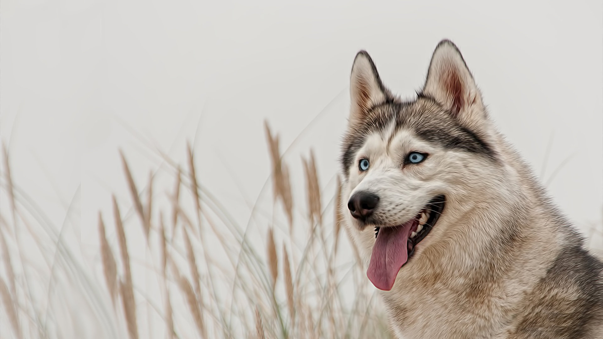 Awesome Husky free background ID:198345 for hd 1080p PC
